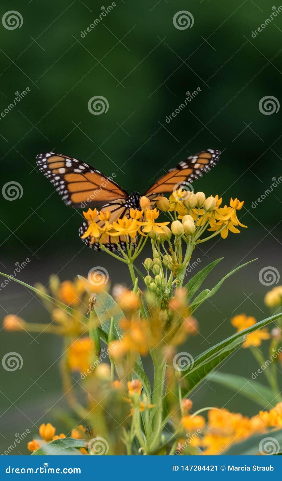 En monarkfjäril som sätta sig på gula vildblommor