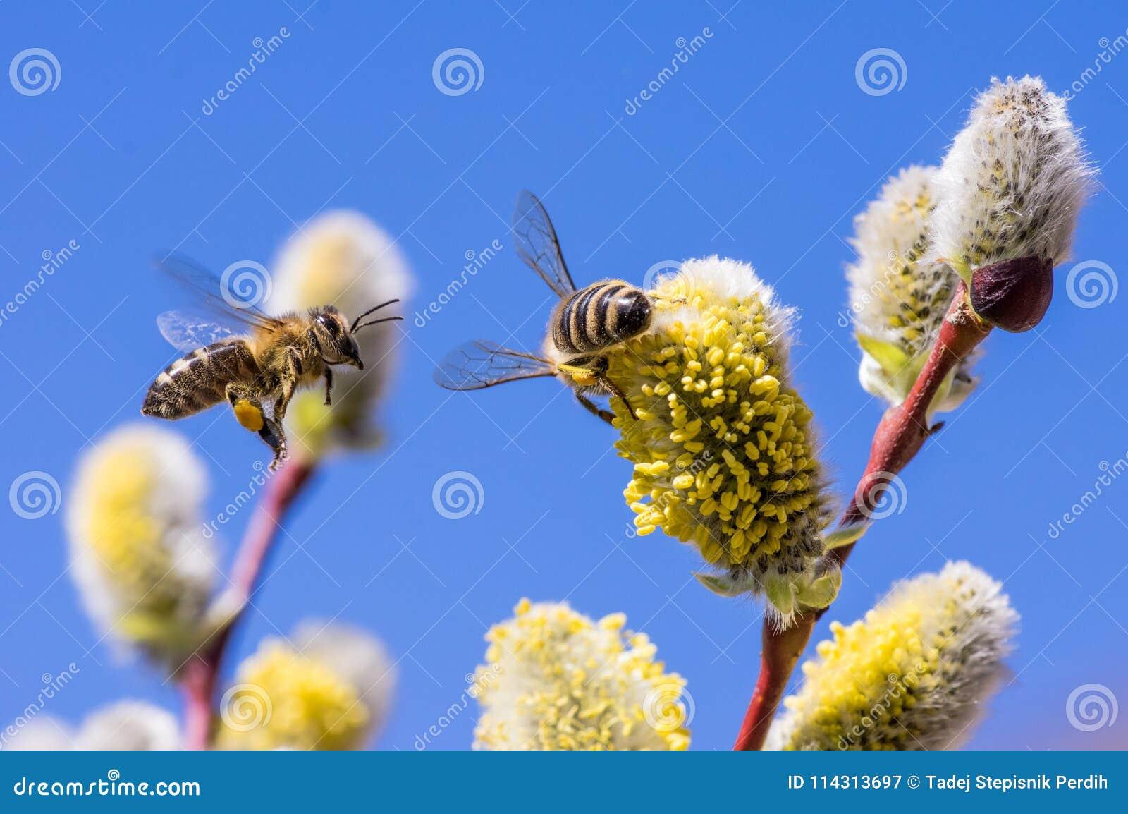 En närbild av ett bi i flykten som samlar nektar på en hänge av en pil