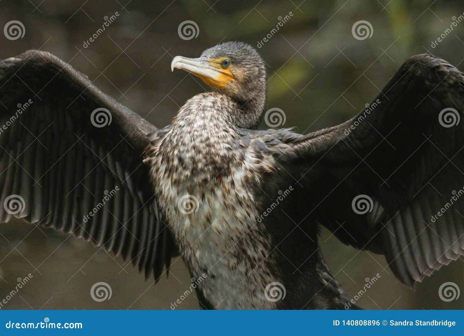 En nätt kormoranPhalacrocoraxcarbo som viftar med dess vingar, når att ha jagat under vattnet för fisk