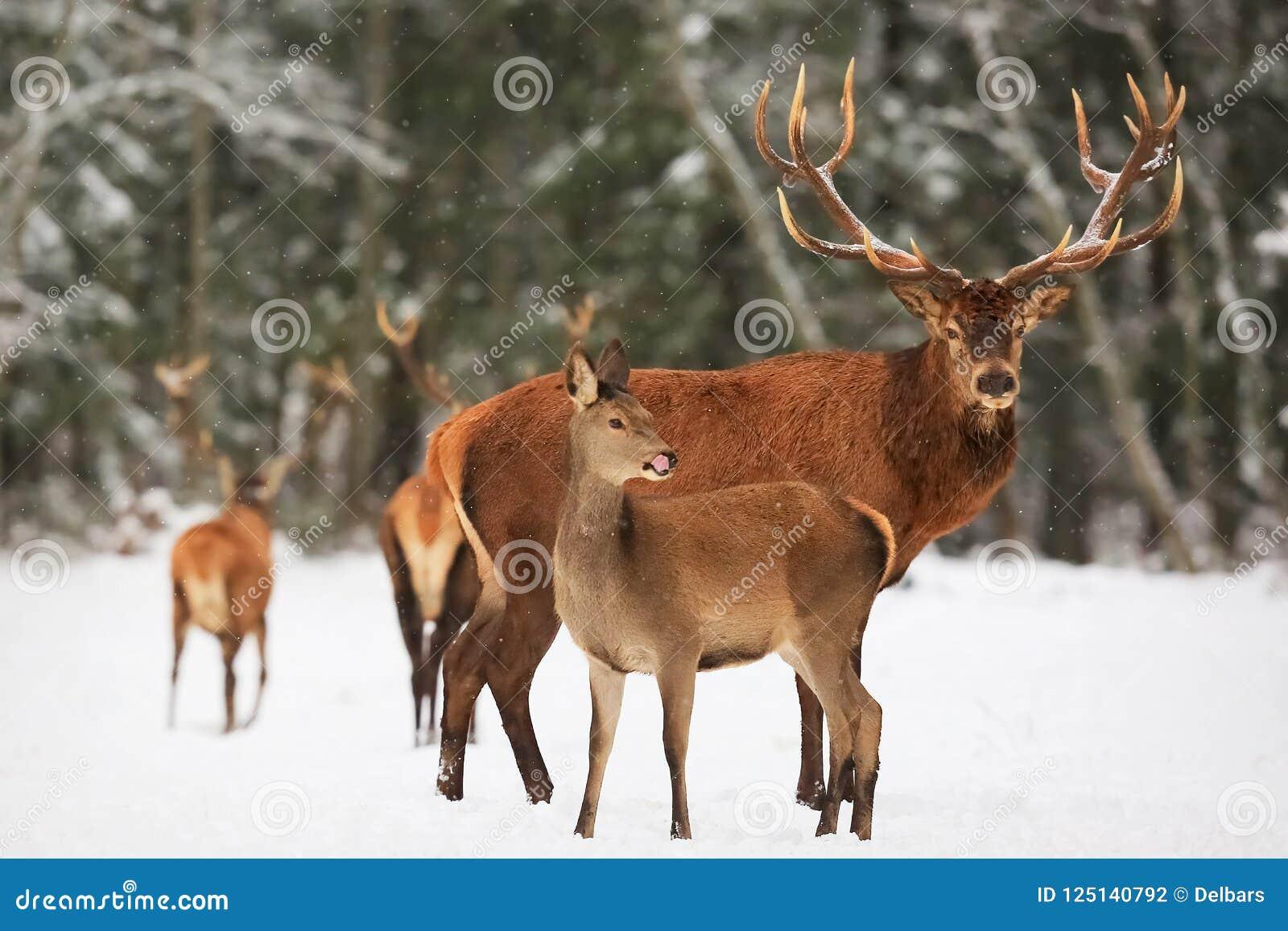 En nobel hjortman med kvinnlign i flocken mot bakgrunden av landskap för vinter för härlig vintersnöskog ett konstnärligt