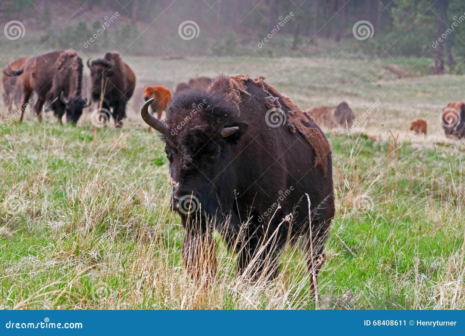En och en halv horned Bison Buffalo i Custer State Park i Blacket Hills av South Dakota USA