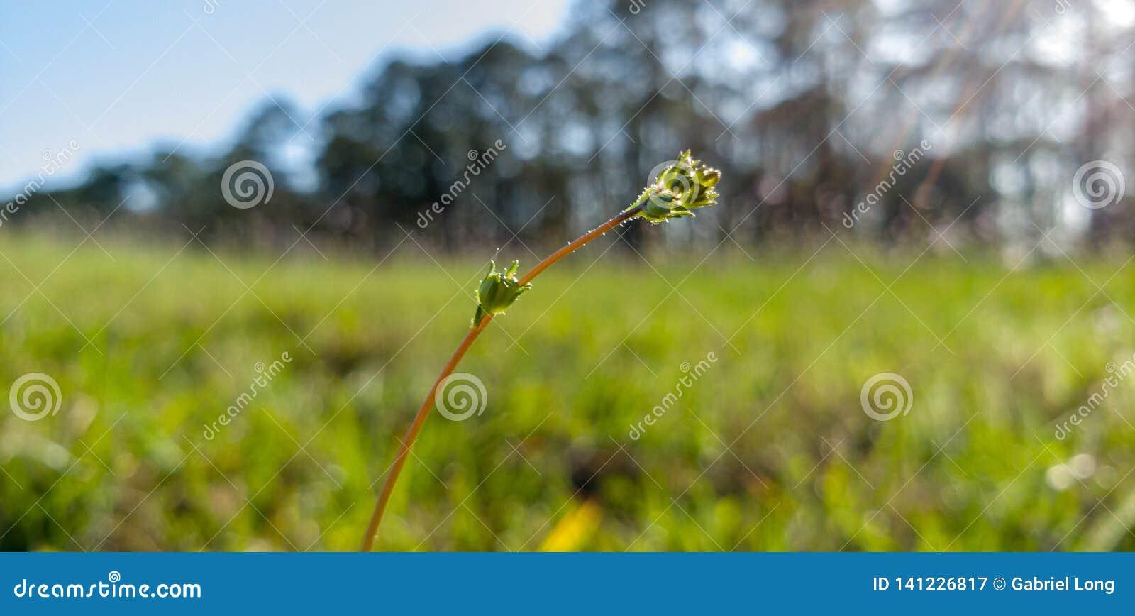 En ovanlig knopp som slår ut i en gräs- rund kulle