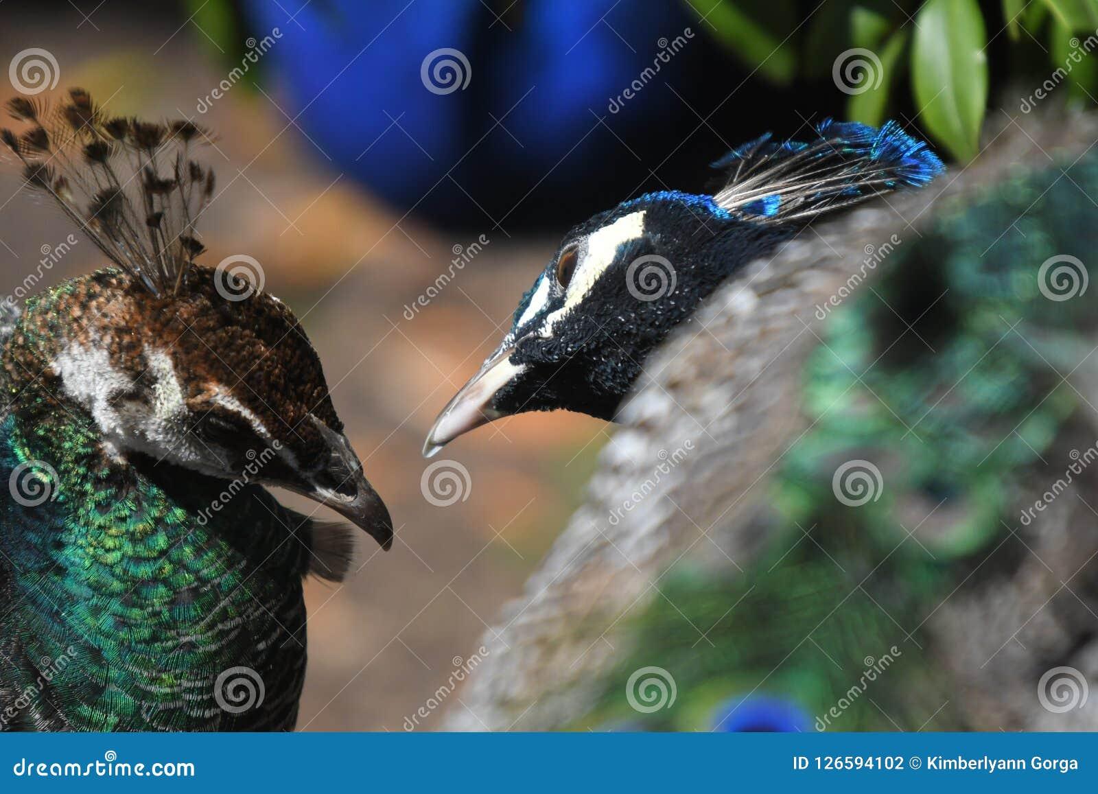 En påfågel och en påfågelshöna som lovingly ser på de