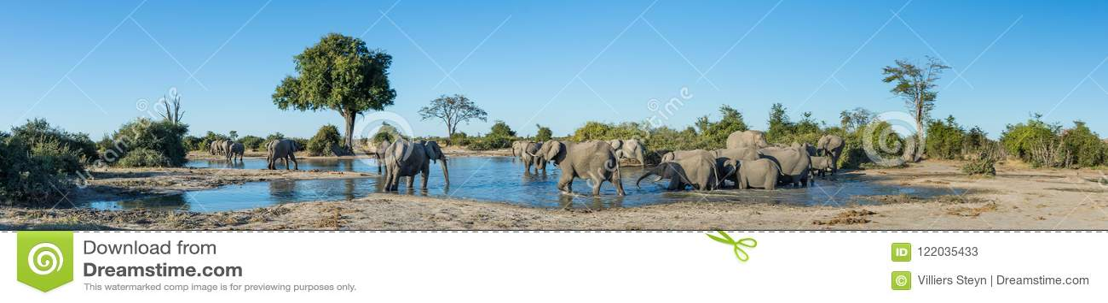 En panoramabild av en flock av elefanter på en waterhole i Savute