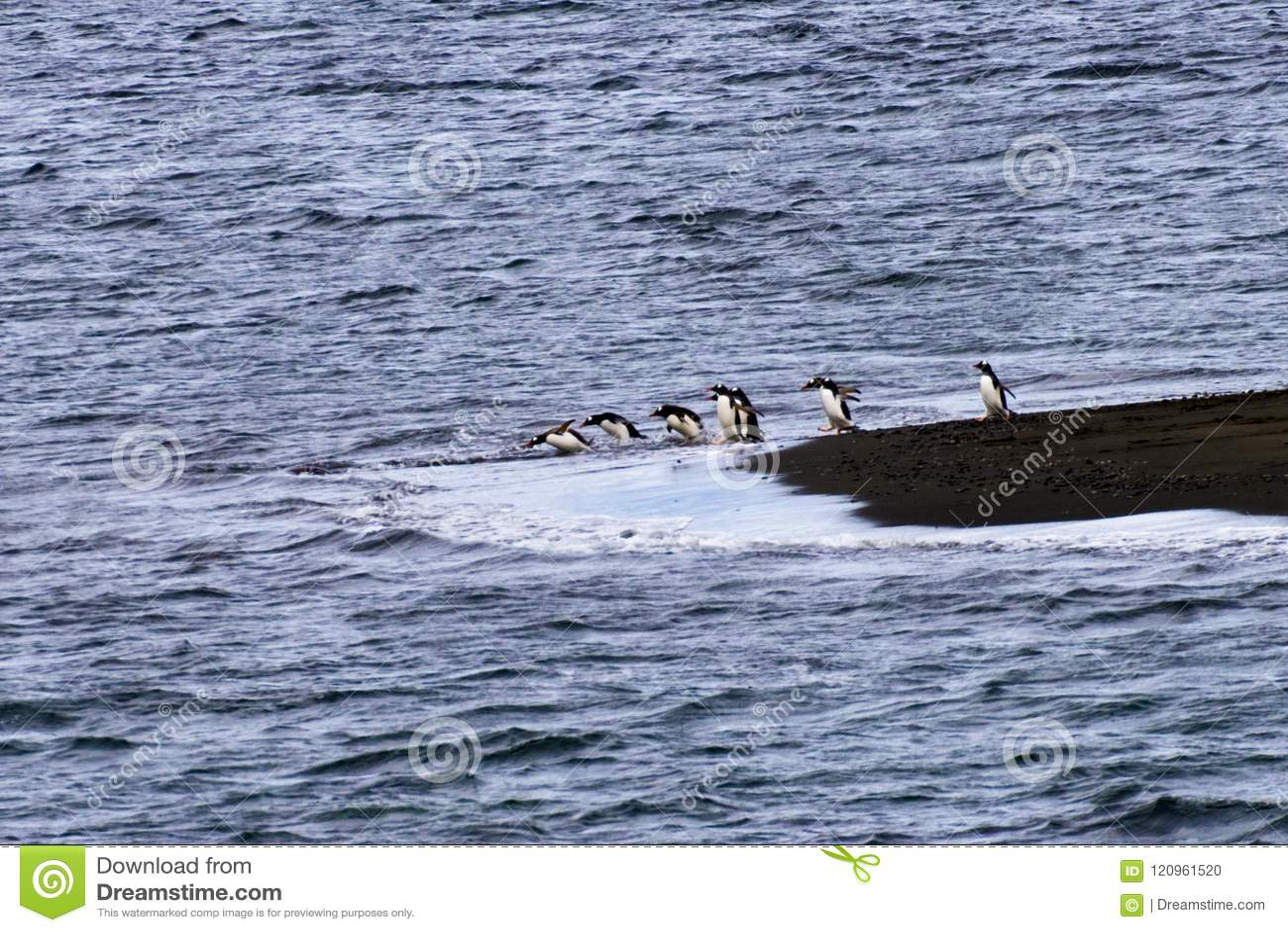 En pingvin med en kö av dykning