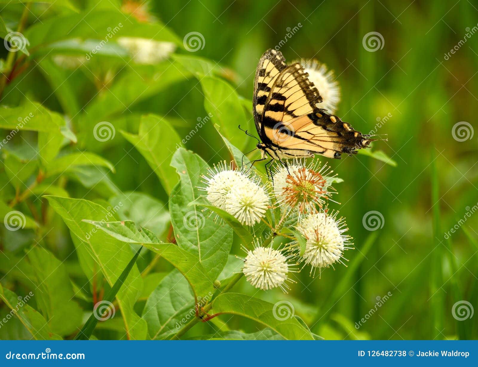 En prickfri monarkfjäril