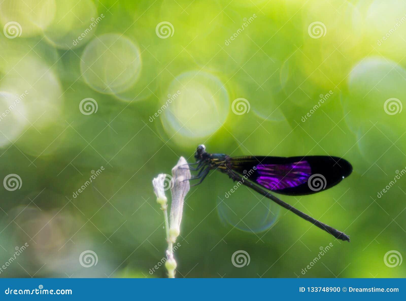 En purpurfärgad bevingad damselfly på blommaknoppen