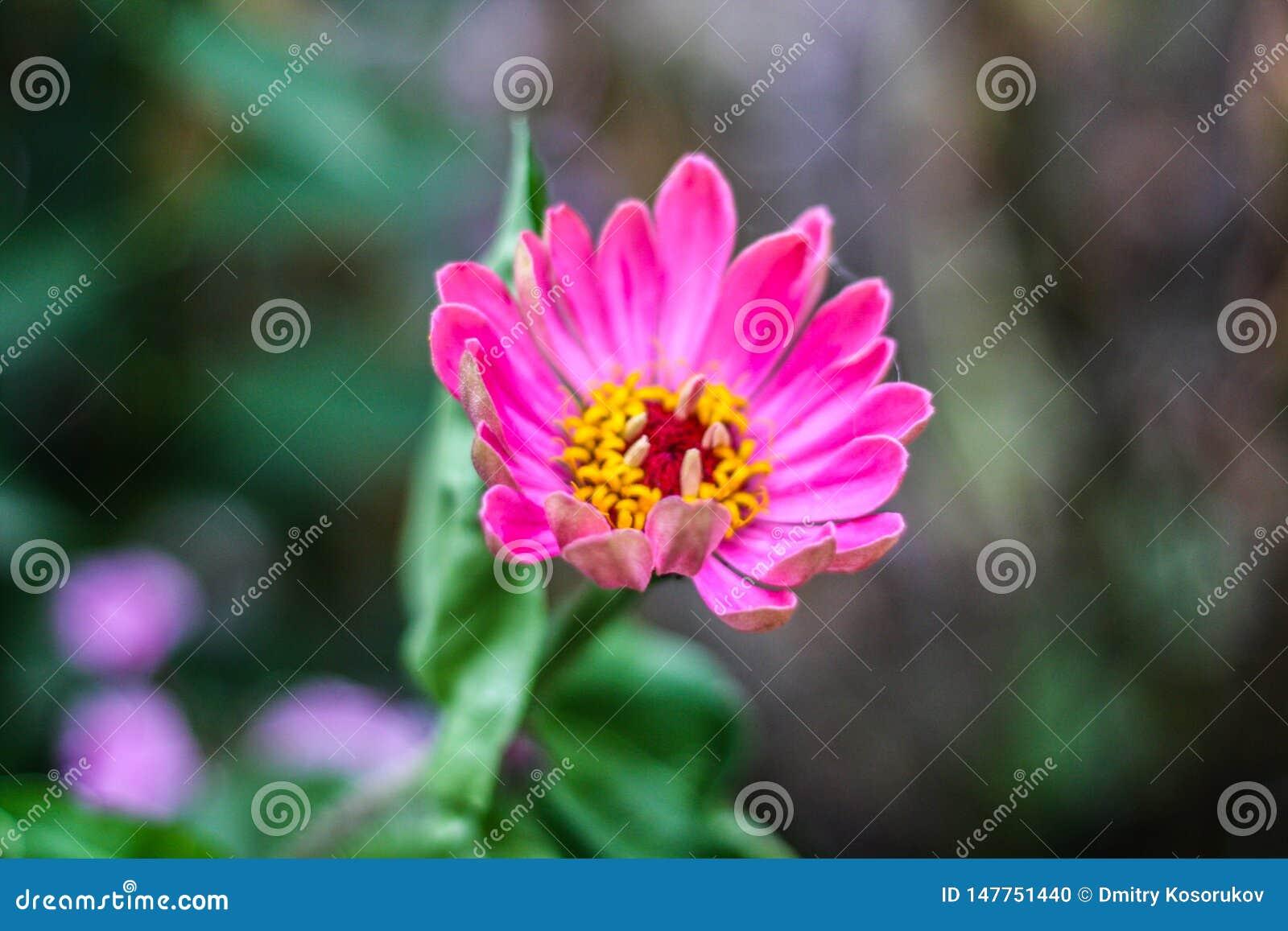 En purpurfärgad stor blommaknopp