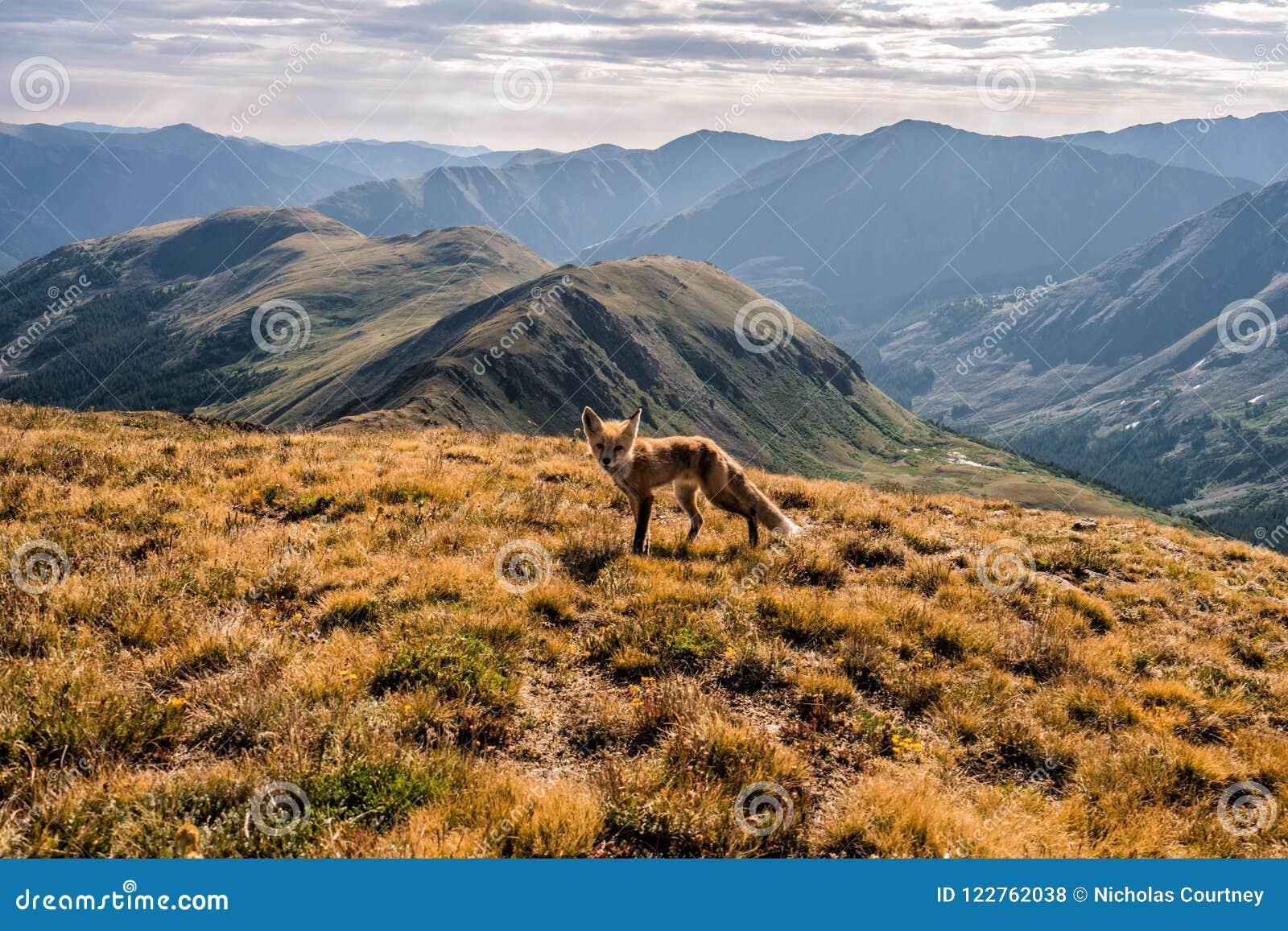 En räv på toppmötet av kupidonmaximumet Loveland passerande, Colorado Rocky Mountains