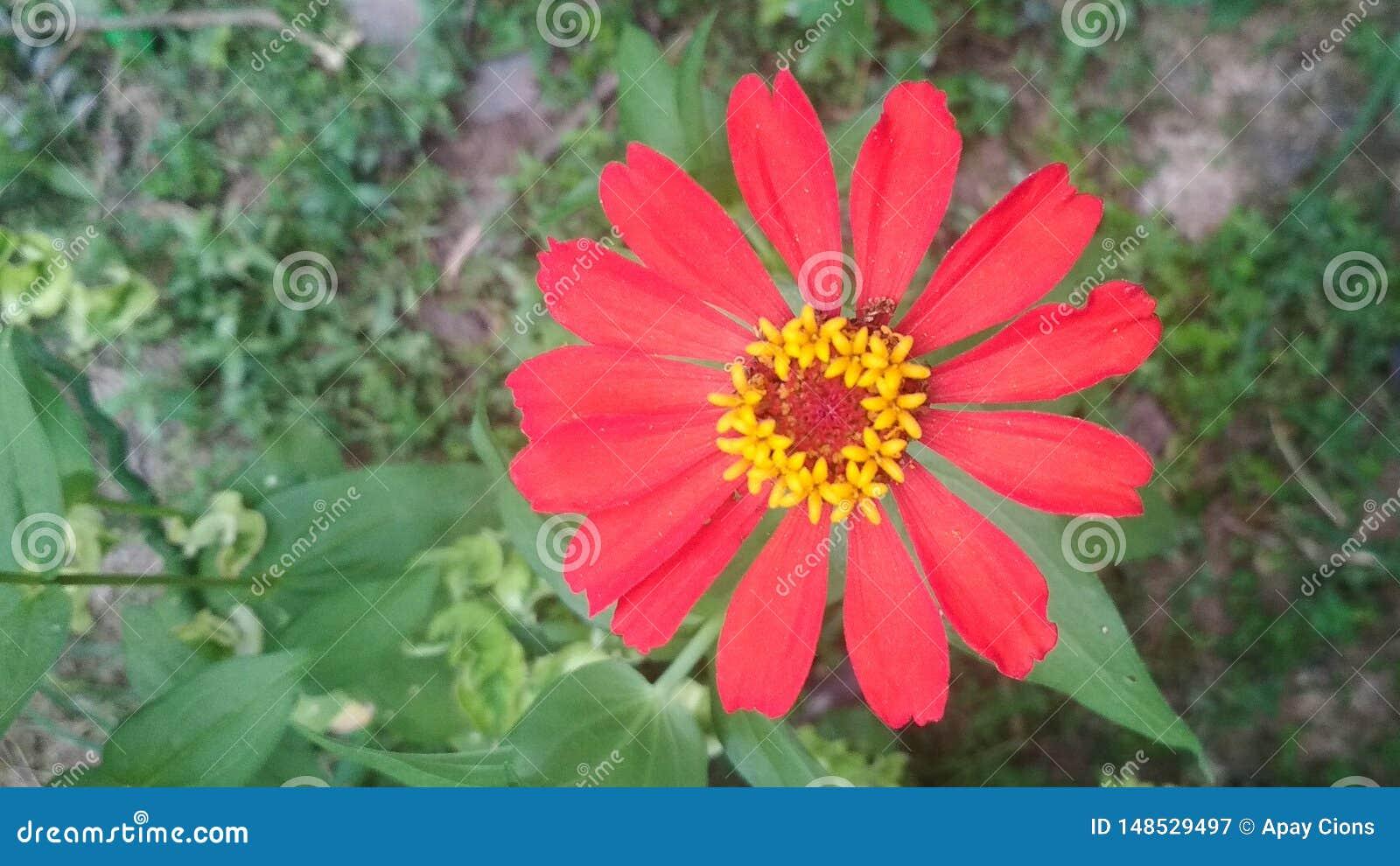 En röd blomma blommar