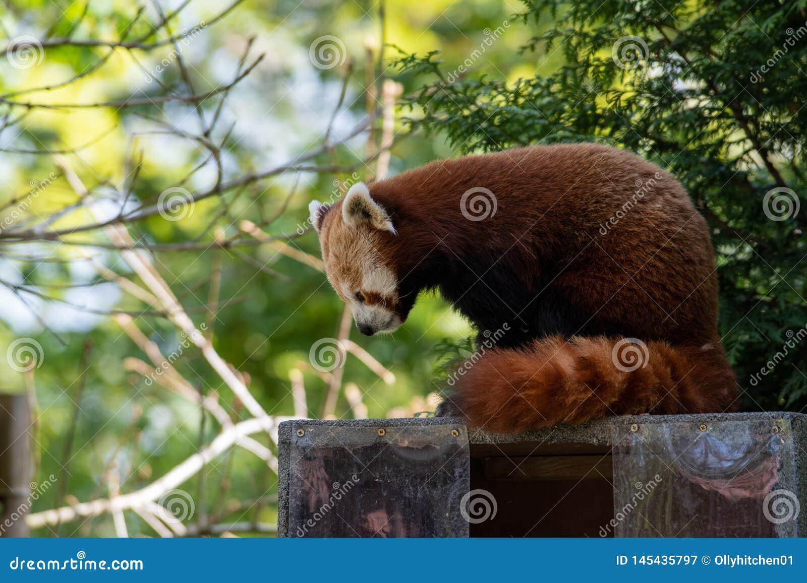 En röd panda flyttar sig till en ny fördelpunkt för att se till att det är säkert att vila når den har ätit