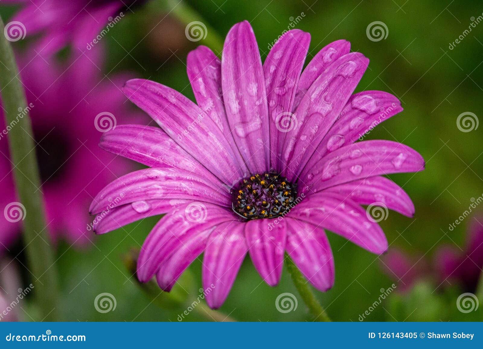 En rosa/purpurfärgad tusensköna efter regn
