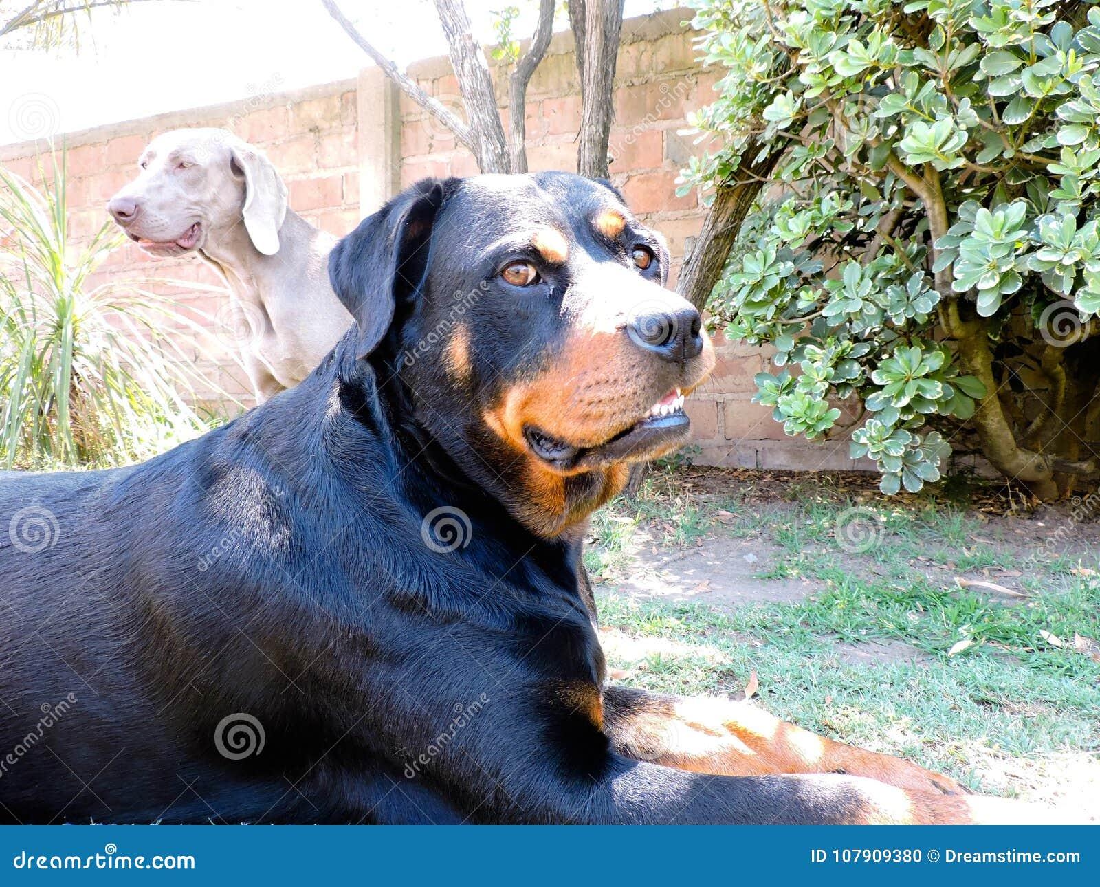 En Rottweiler och en Weimaraner
