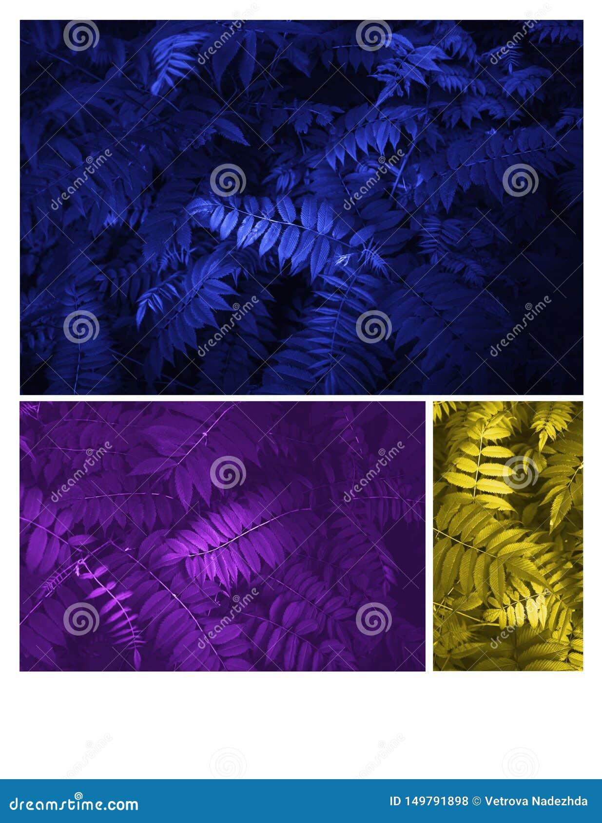 En rougeoyant les feuilles bleues, jaunes et pourpres modelez beau tropical