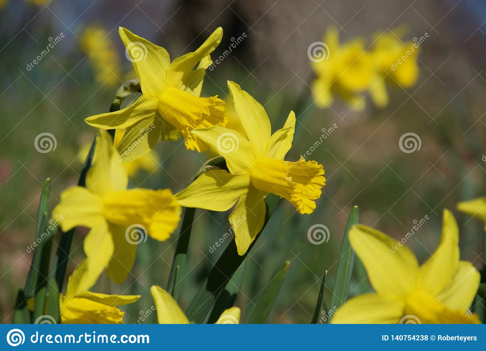 En rugge av ljusa gula påskliljor på gröna stammar i livligt solljus