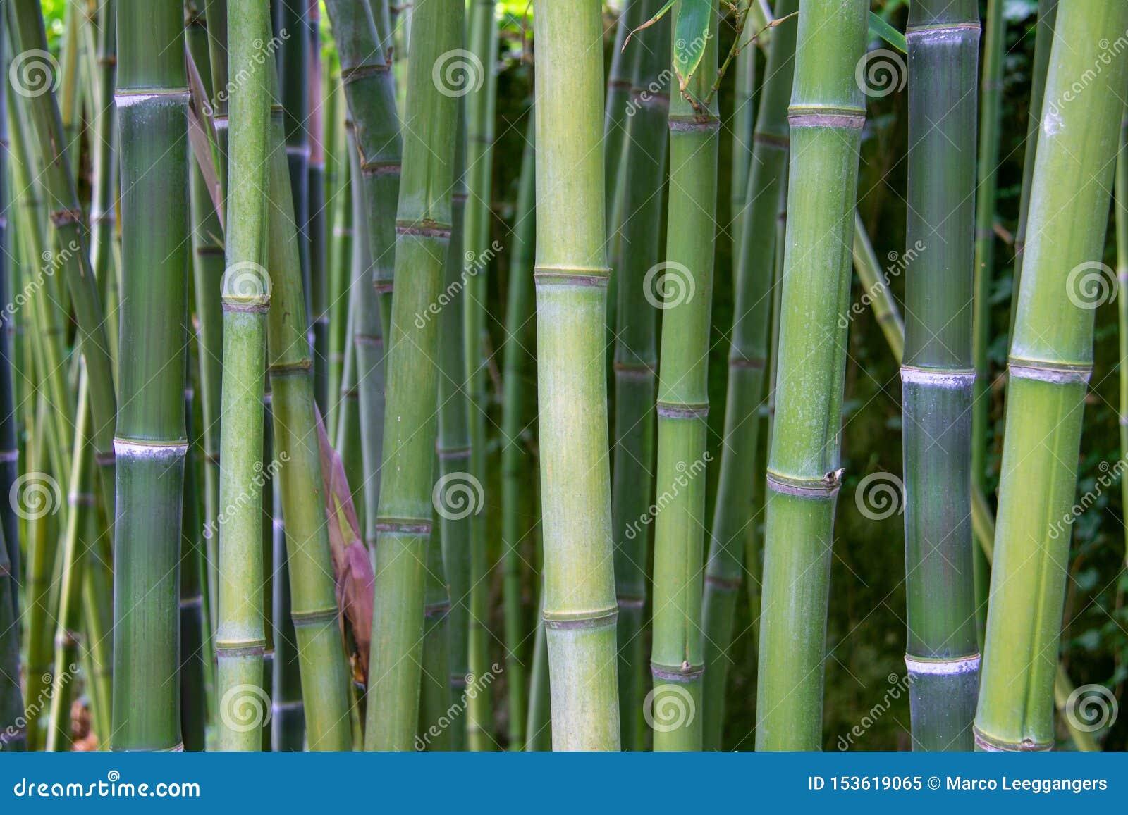 En sikt till en grön bambuskog