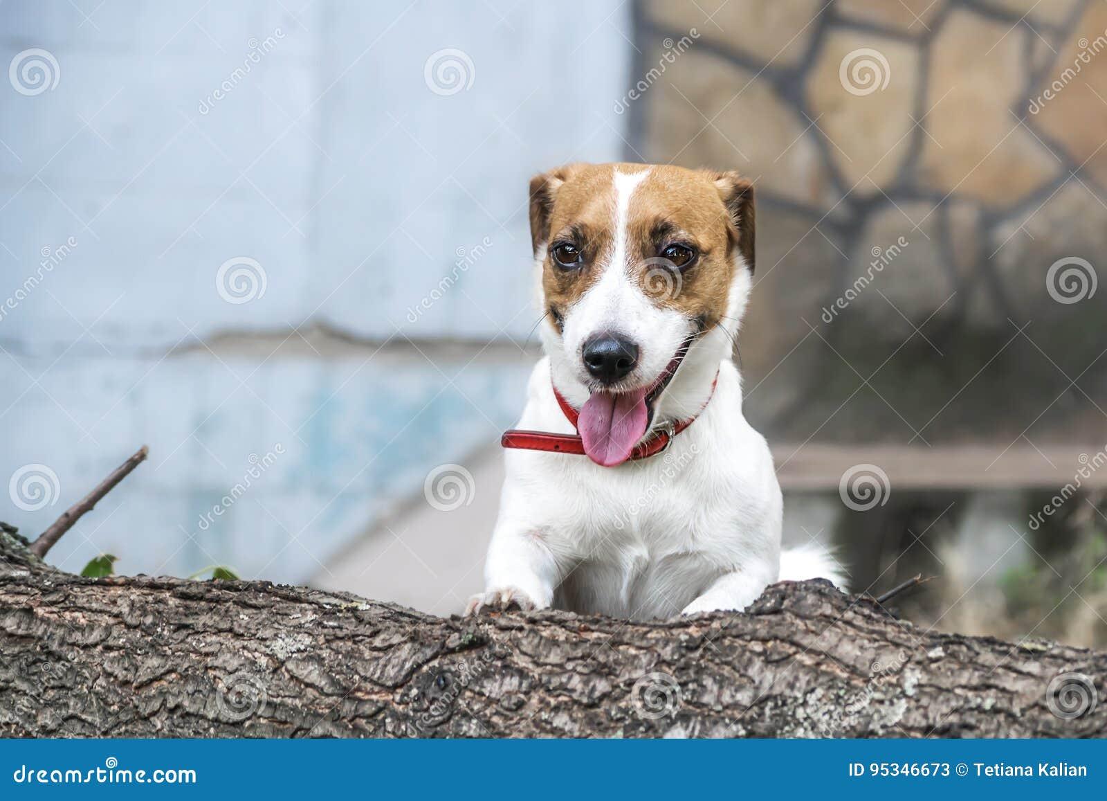 En skämtsam hund Jack Russell Terrier som går att hoppa över det avverkade trädet
