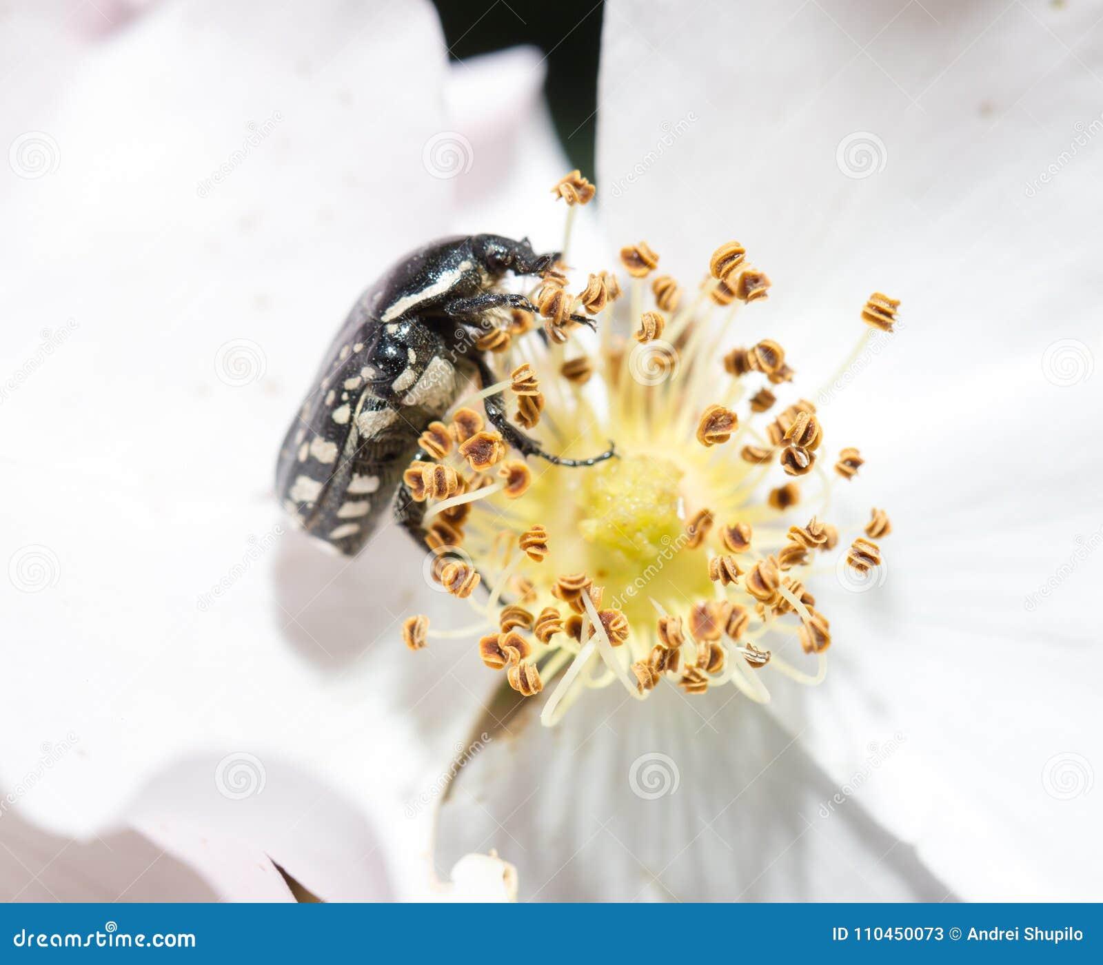 En skalbagge på en vit blomma i natur Makro