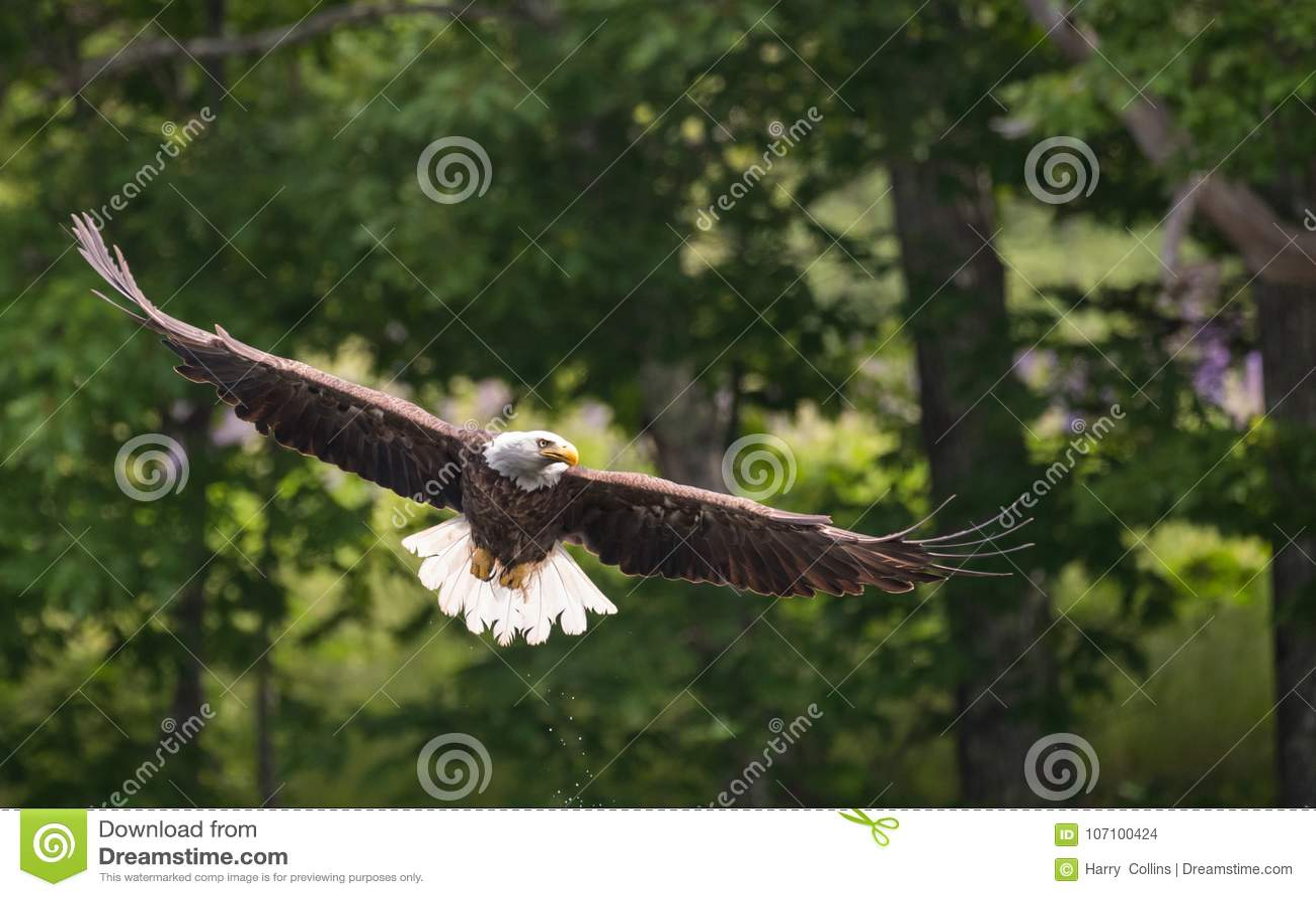 En skalliga Eagle i Maine