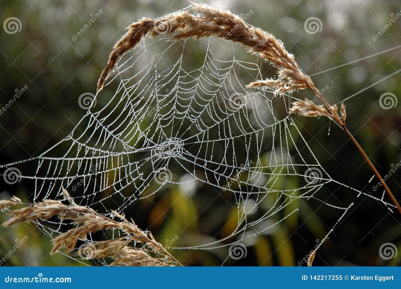 En spindelrengöringsduk i morgondagget