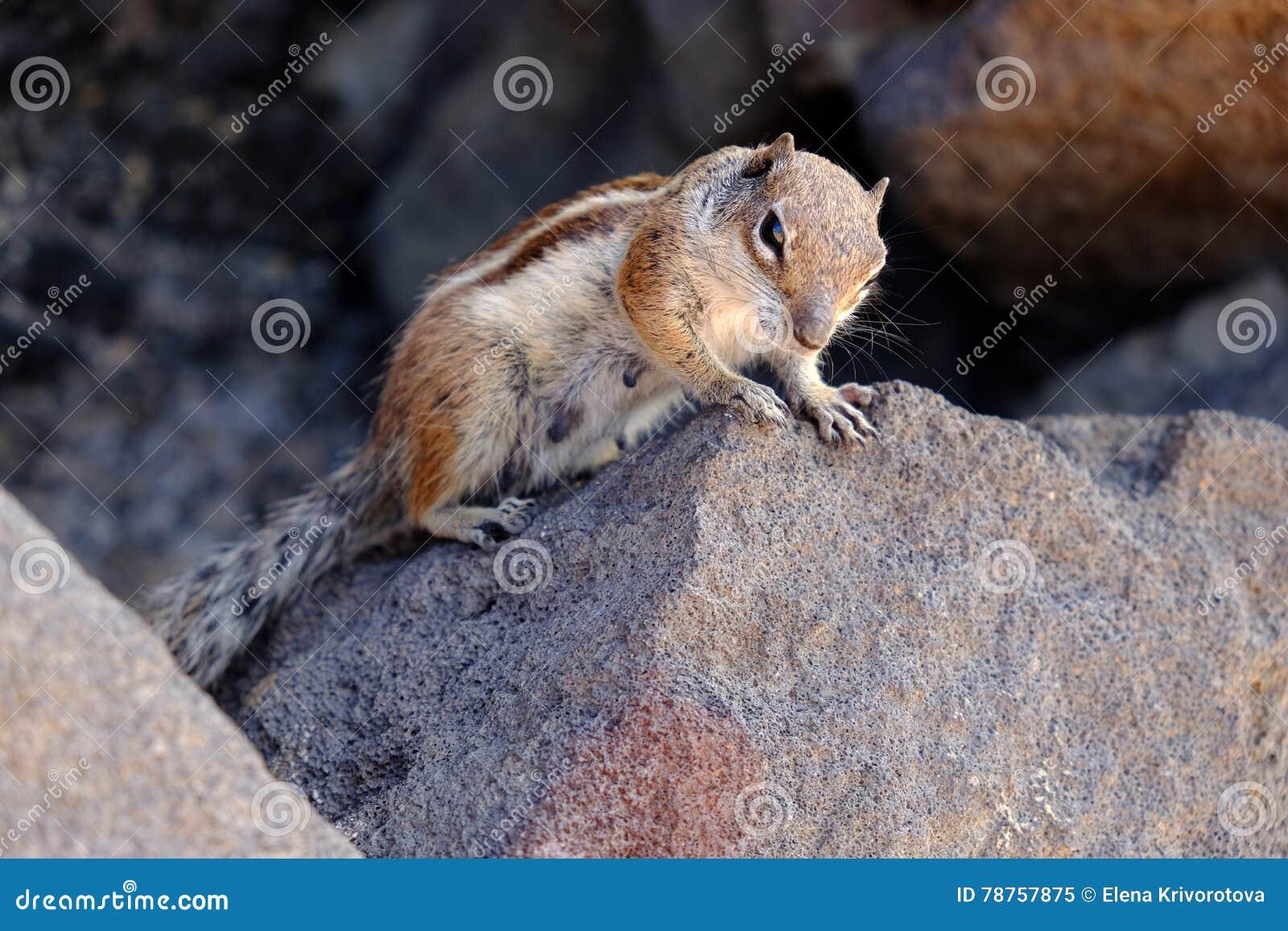 En stående av en gullig ekorre på stenarna