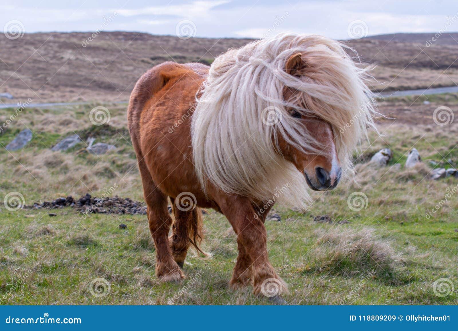 En stående av en ensam Shetland ponny på en skotsk hed på henne