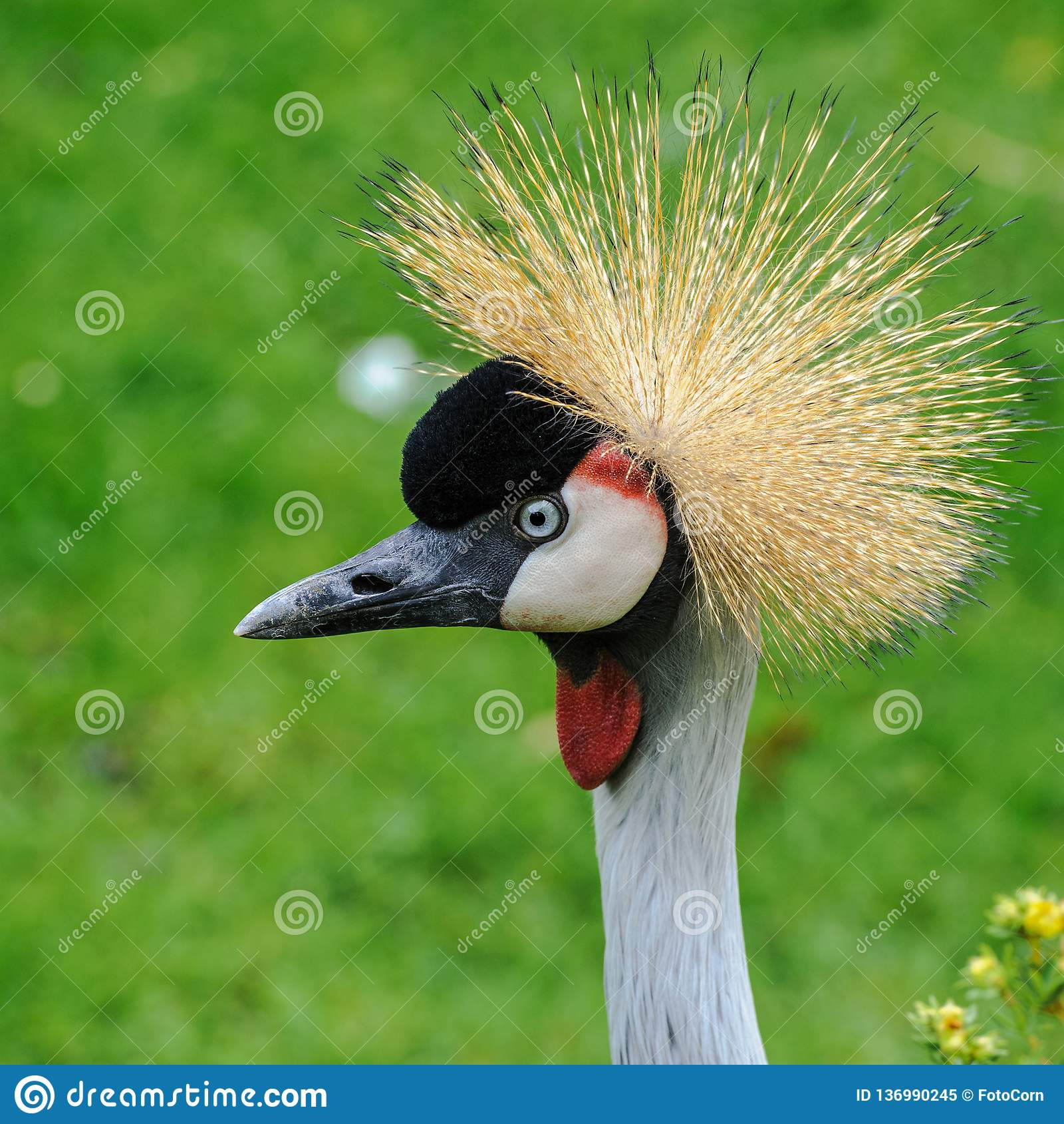 En stående av en härliga Grey Crowned Crane