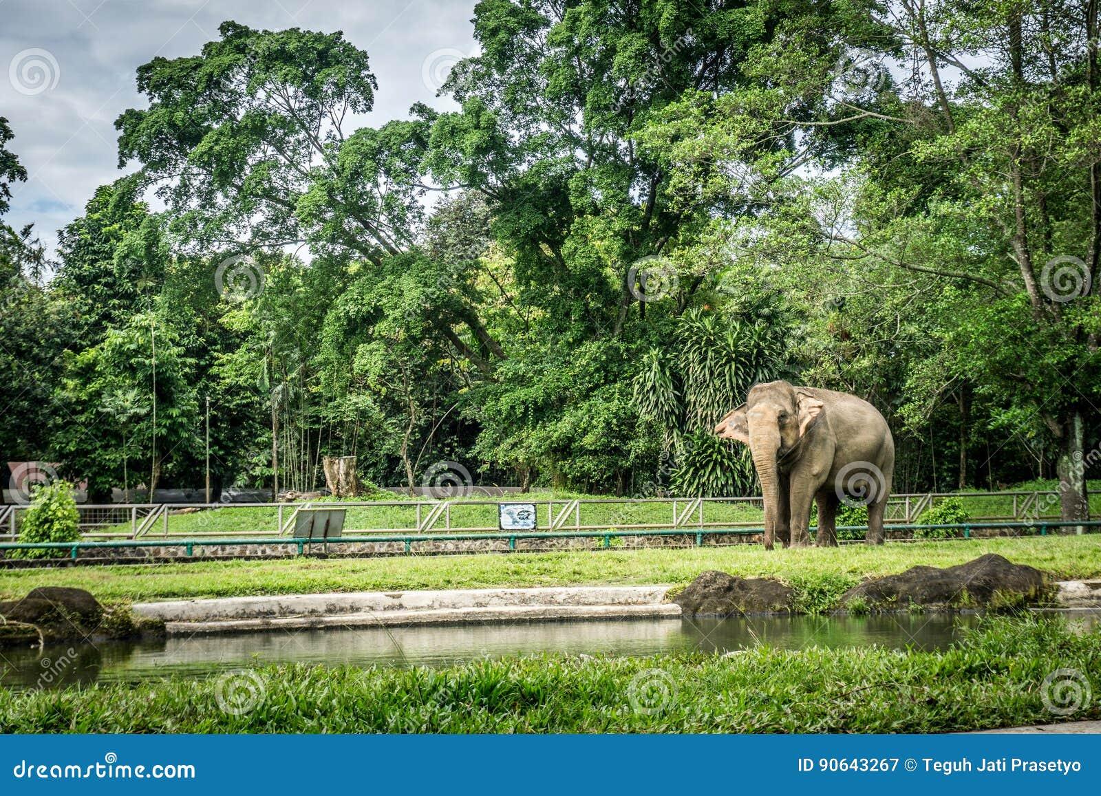 En stor elefant i buren med pölen som omger vid staketet och trädfotoet som tas i den Ragunan zoo Jakarta Indonesien