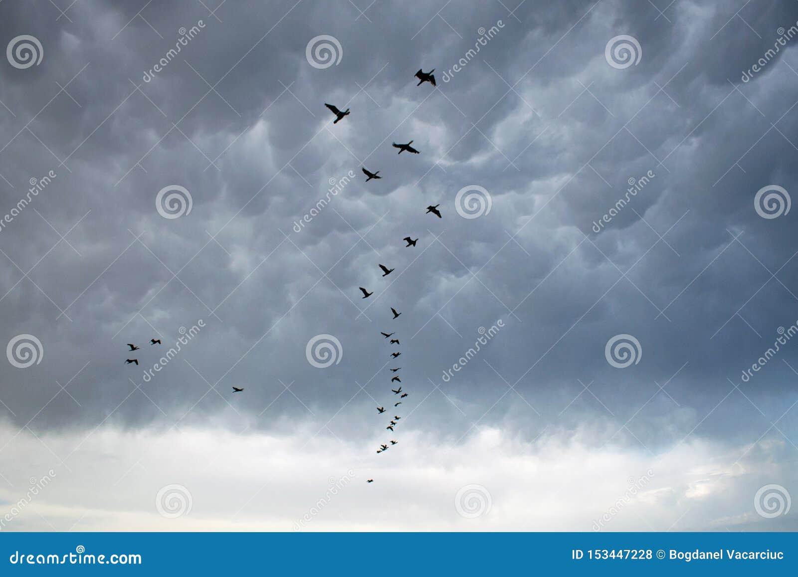 En stor folkmassa av kormoran korsar den mörka himlen på en stormig dag på havet