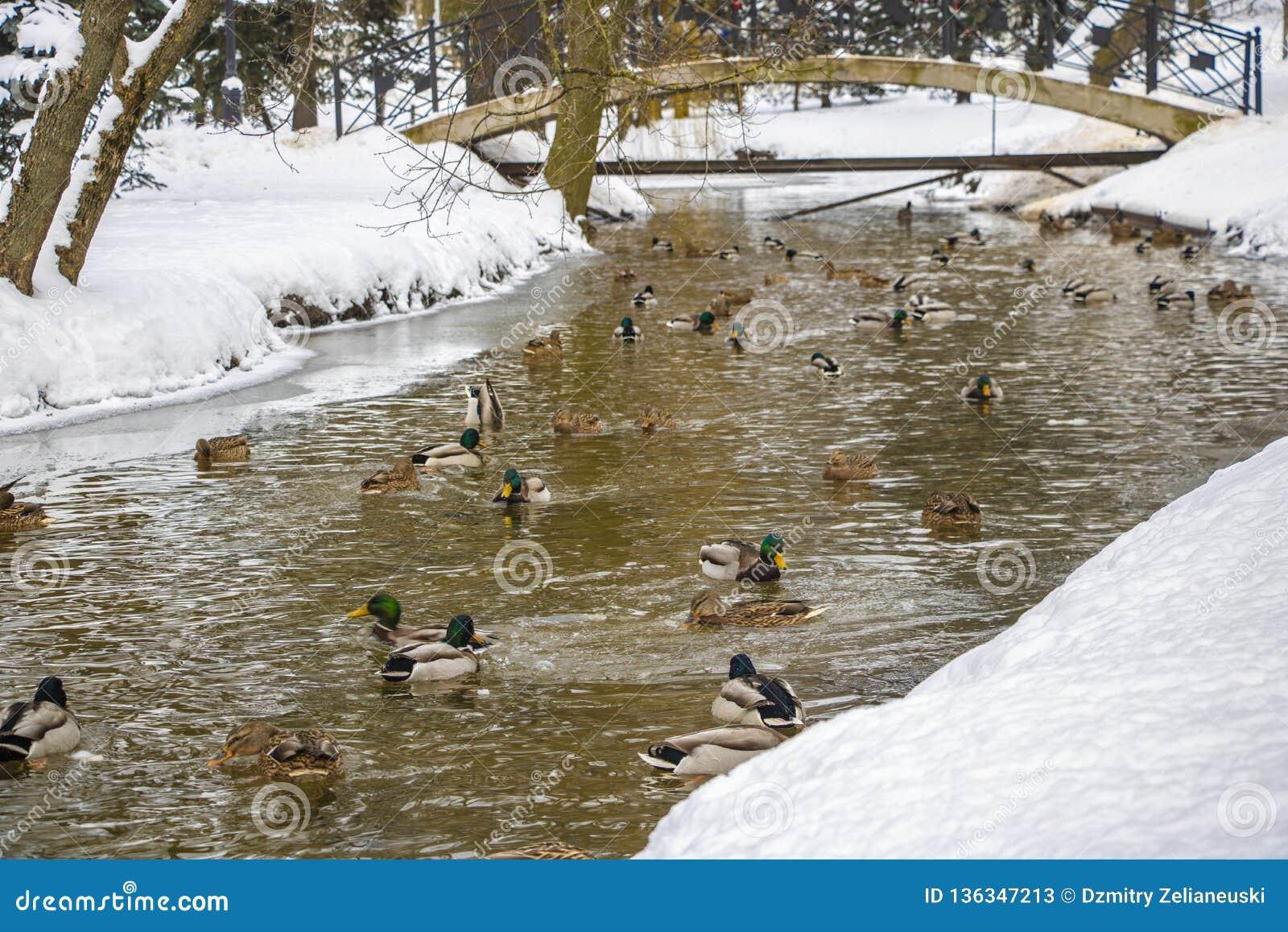 En stor grupp av gräsandänder simmar i kalla vattnet av ett damm på en solig vinterdag i lantliga Wisconsin i vintersäsongen