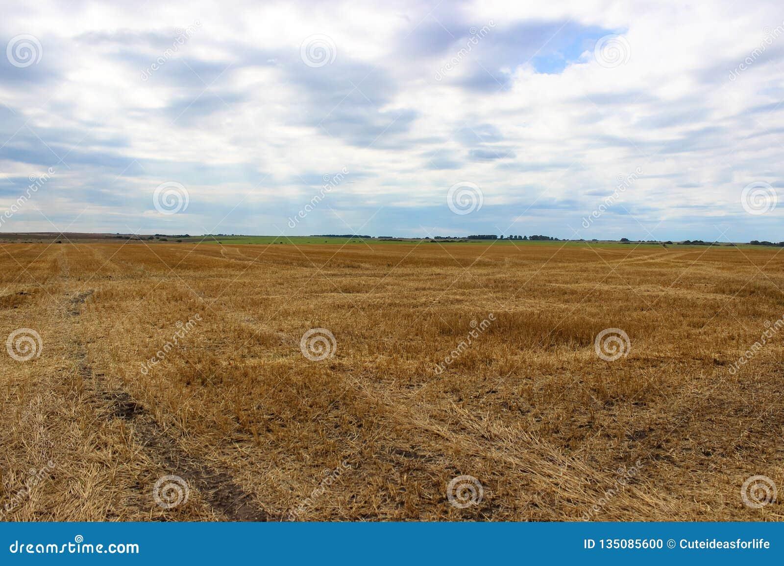 En stor gul veteåker, når att ha skördat och mulen, himmel i bakgrunden
