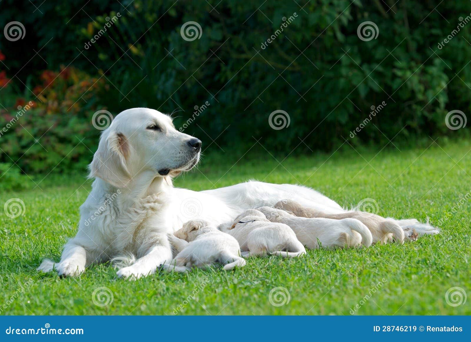 En stor guld- mum för labrador retriever med forusgalleriavalpar i grön gräsbakgrund