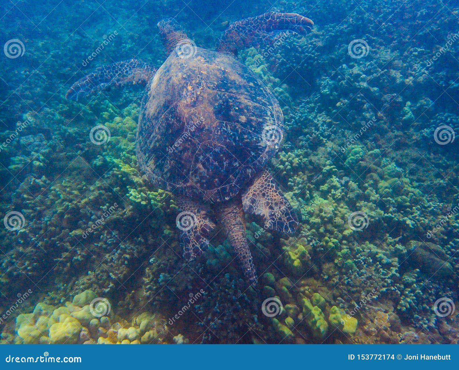 En stor sköldpadda för grönt hav