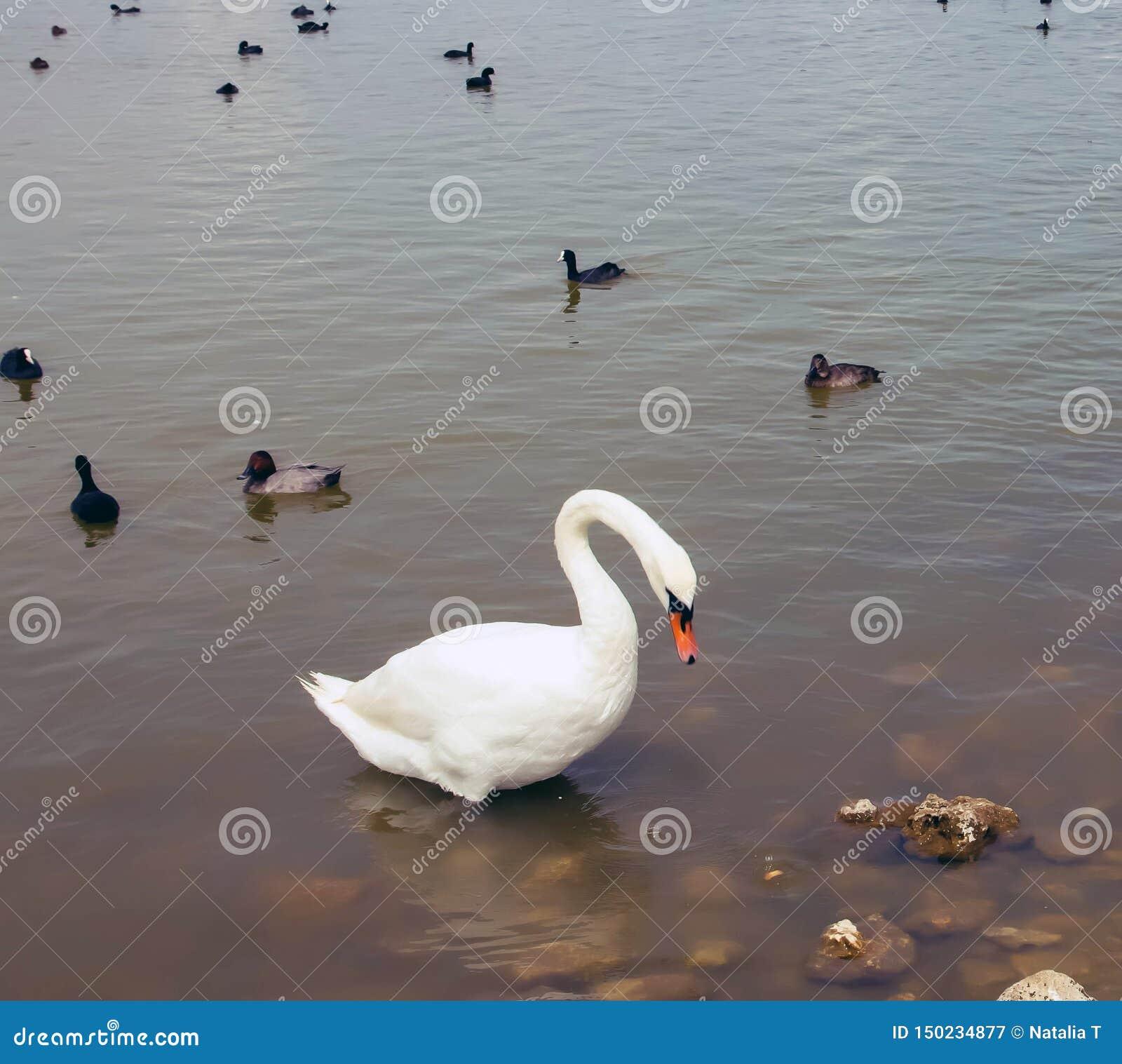 En stor vit svan på vattnet, med små svarta svanar