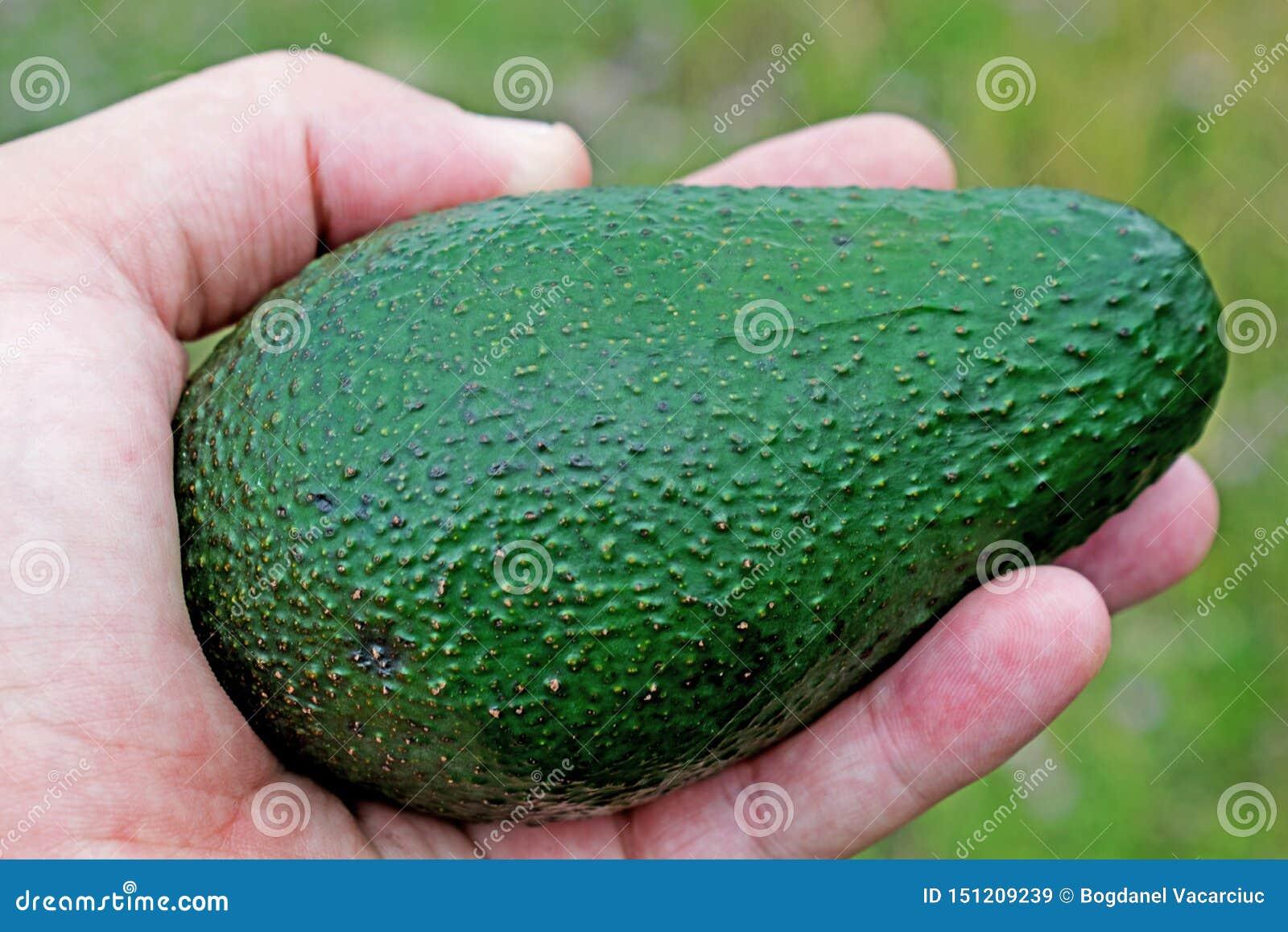 En sund frukt som ska konsumeras av alla en stor frukt av avokadot som hålls i hand