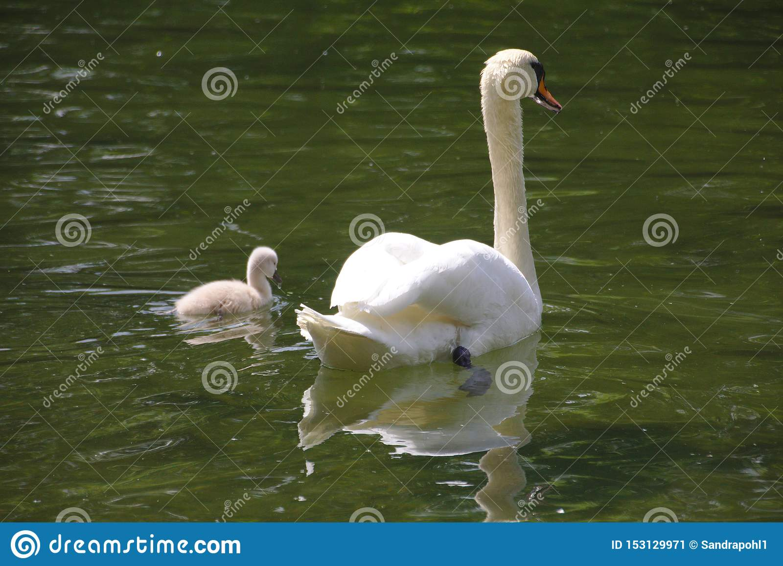 En svan med en fågelungesimning i sjön