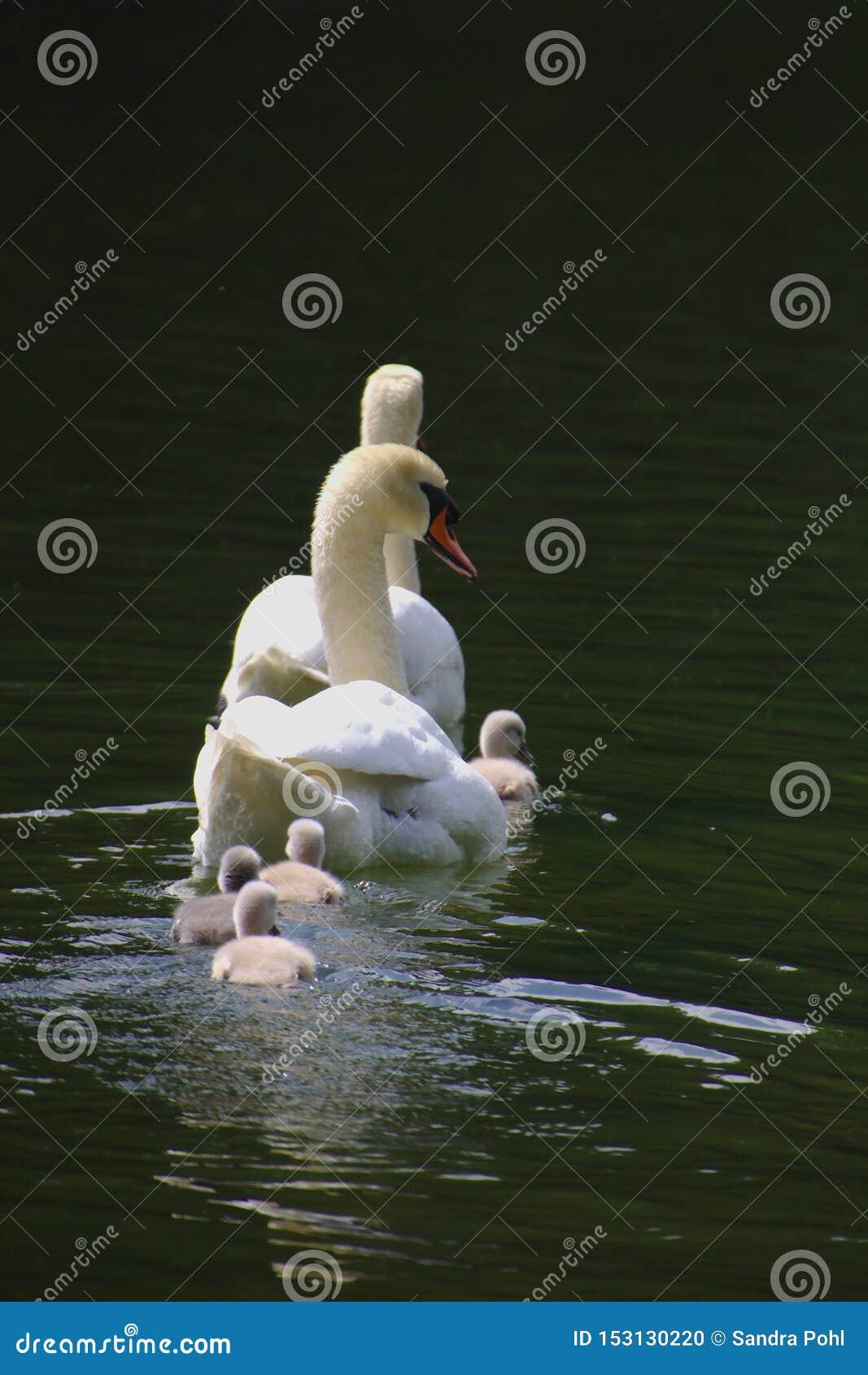 En svanfamilj med fyra fågelungar som simmar i sjön