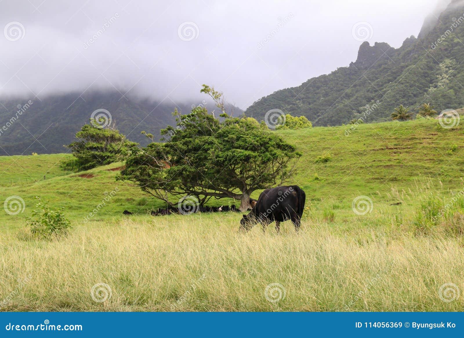 En svart angus ko som matar på gräs