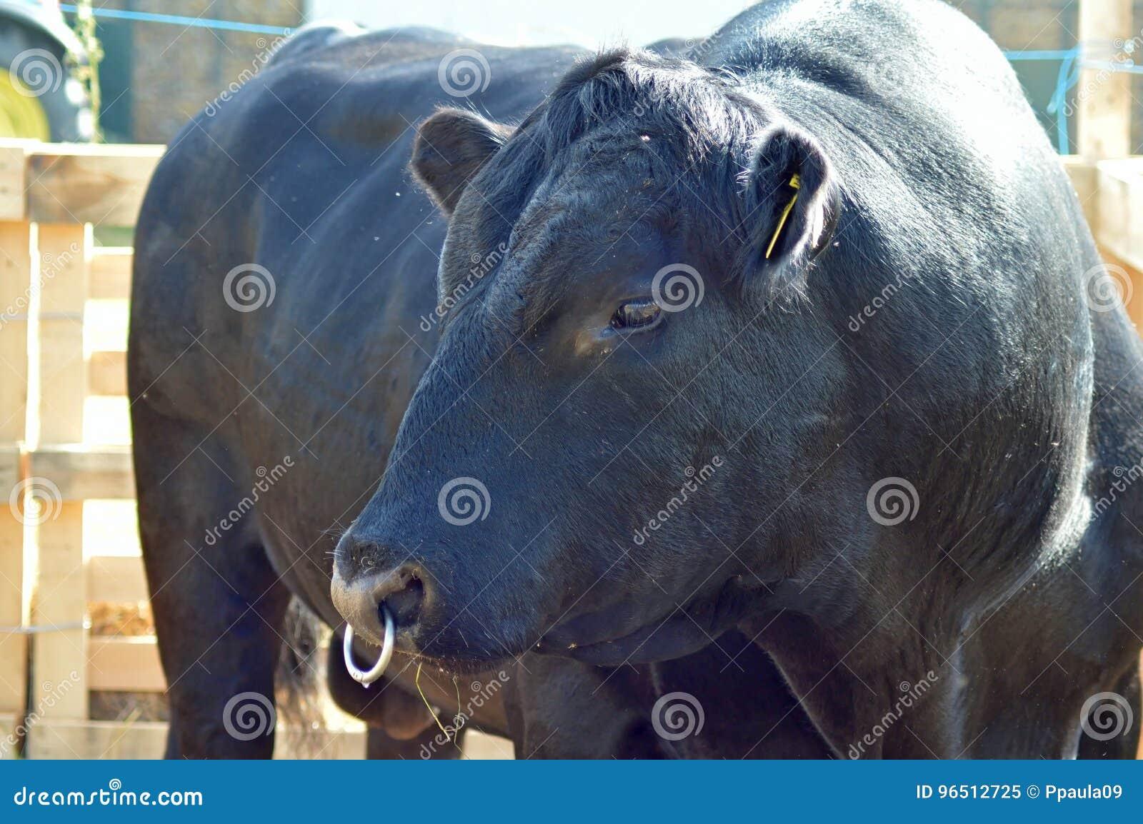 En svart angus tjur