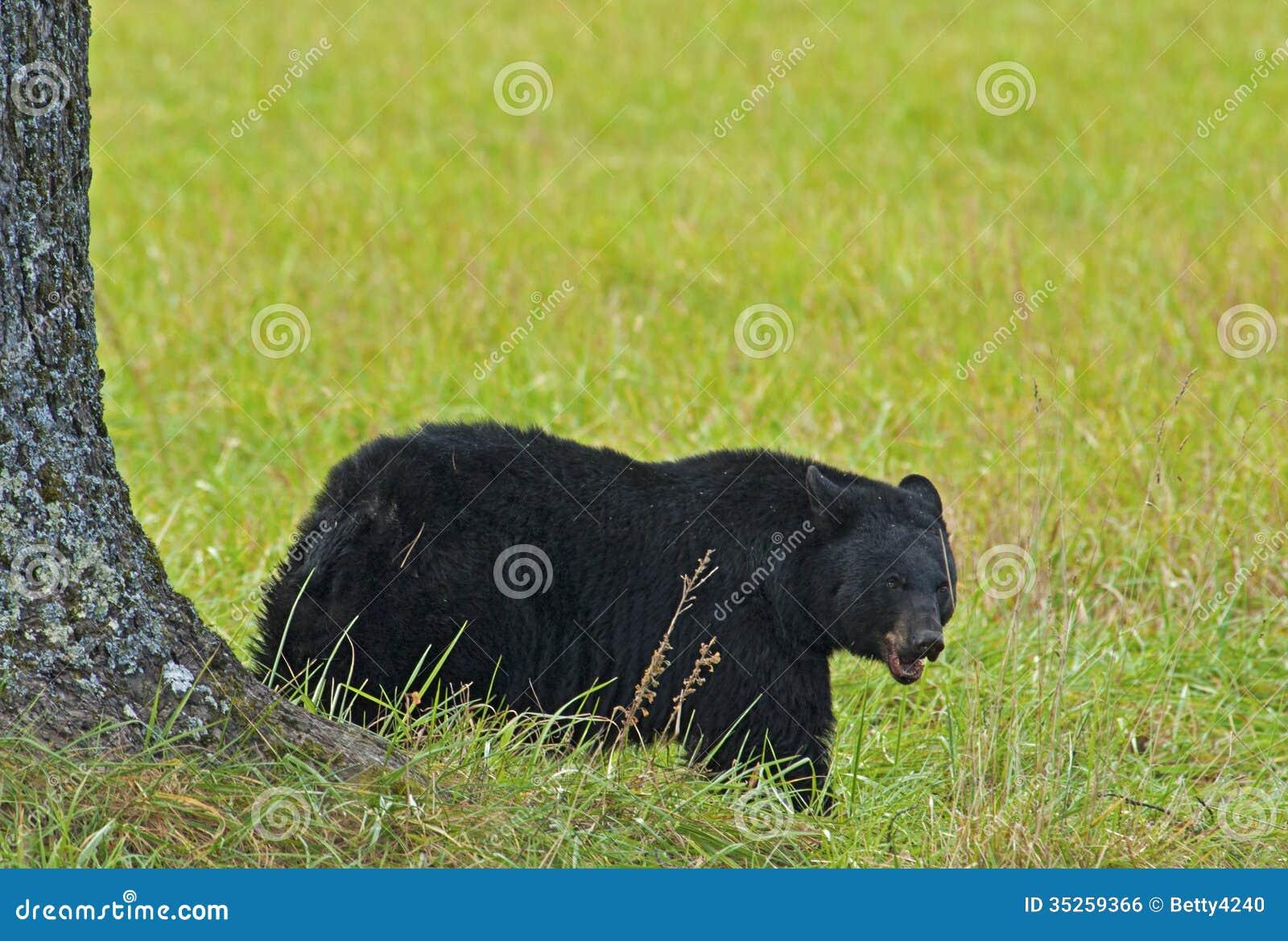En svart björn som äter valnötter under ett valnötträd.