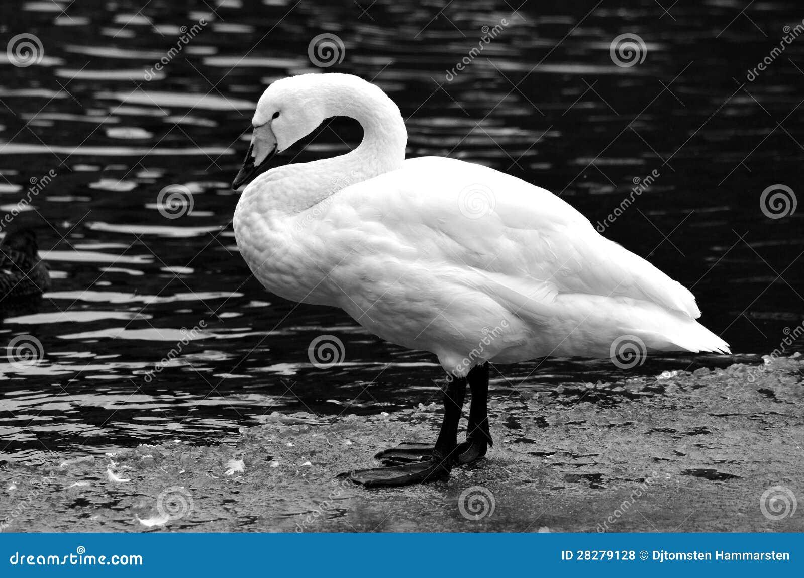 En swan på isen