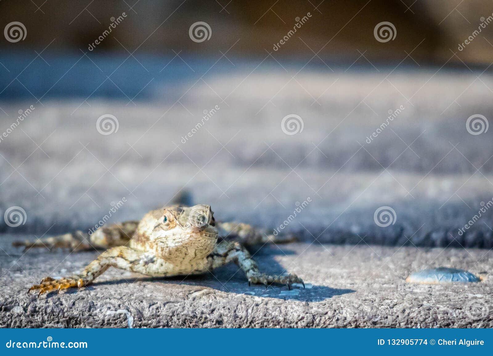 En Texas Spiny Lizard i Harlingen, Texas
