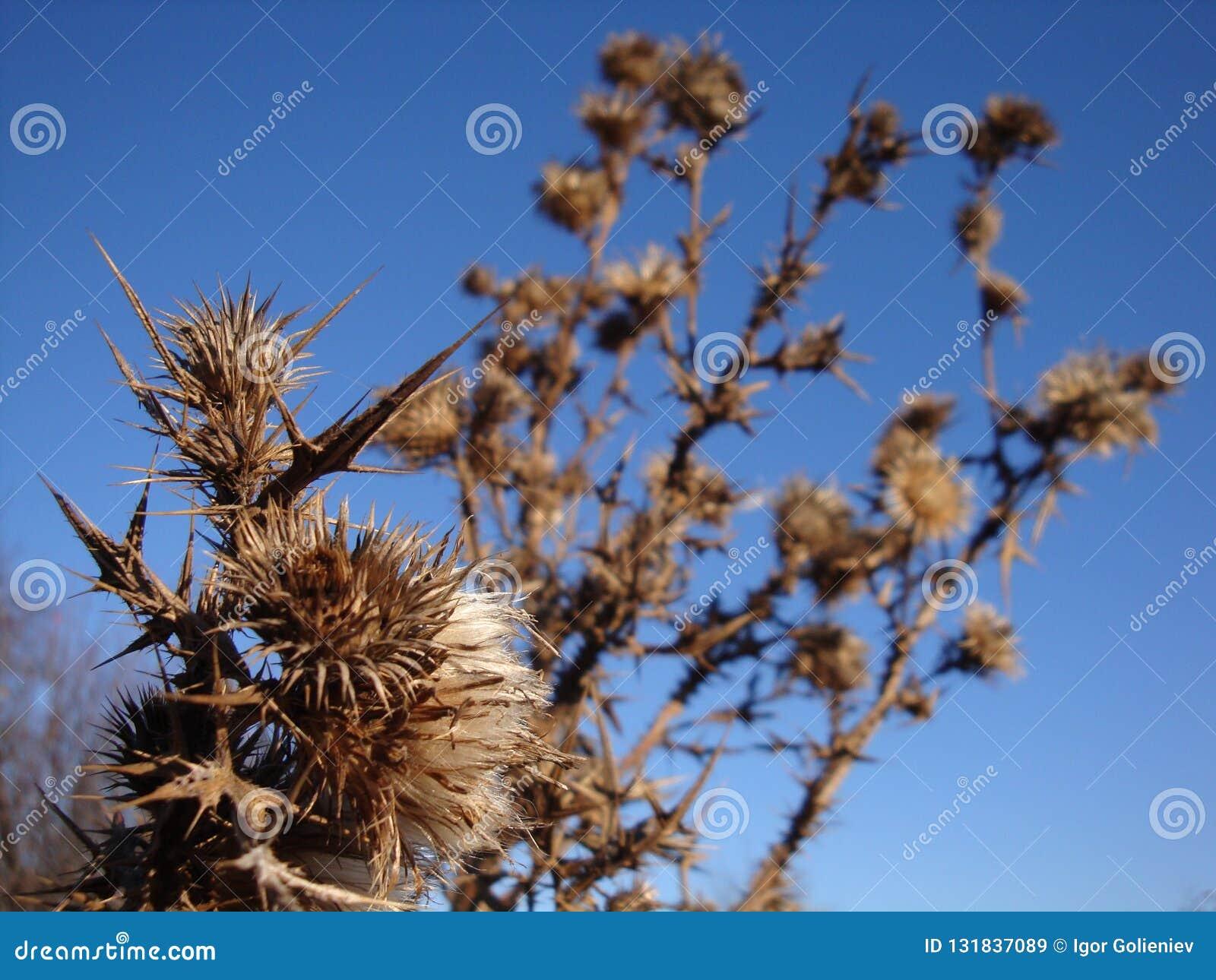 En torr och taggig taggbuske på ett torrt fält