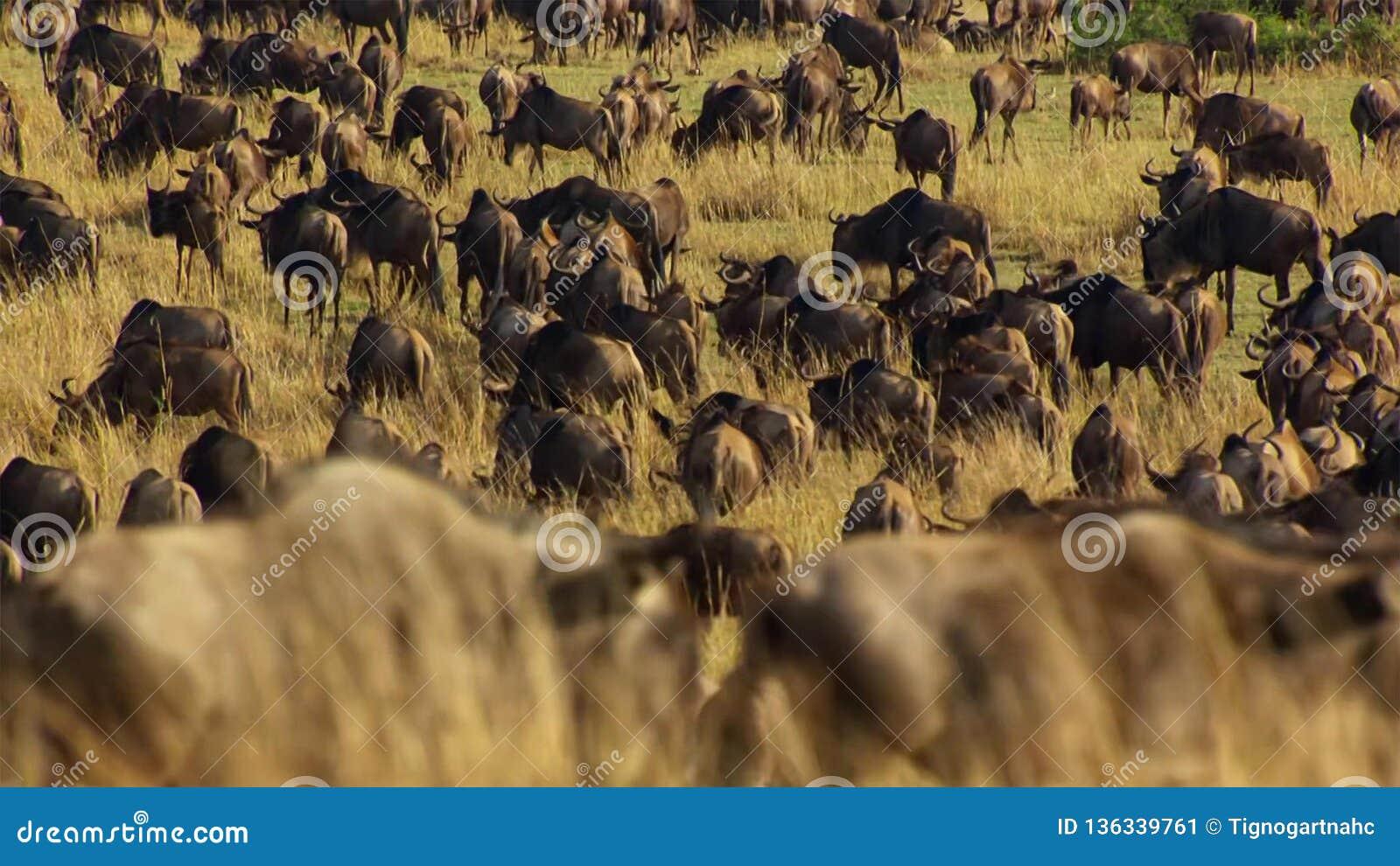 En torr säsong tar hållen Att att undvika svält många gnu irrar den östliga afrikanska savannet som jagar regnet