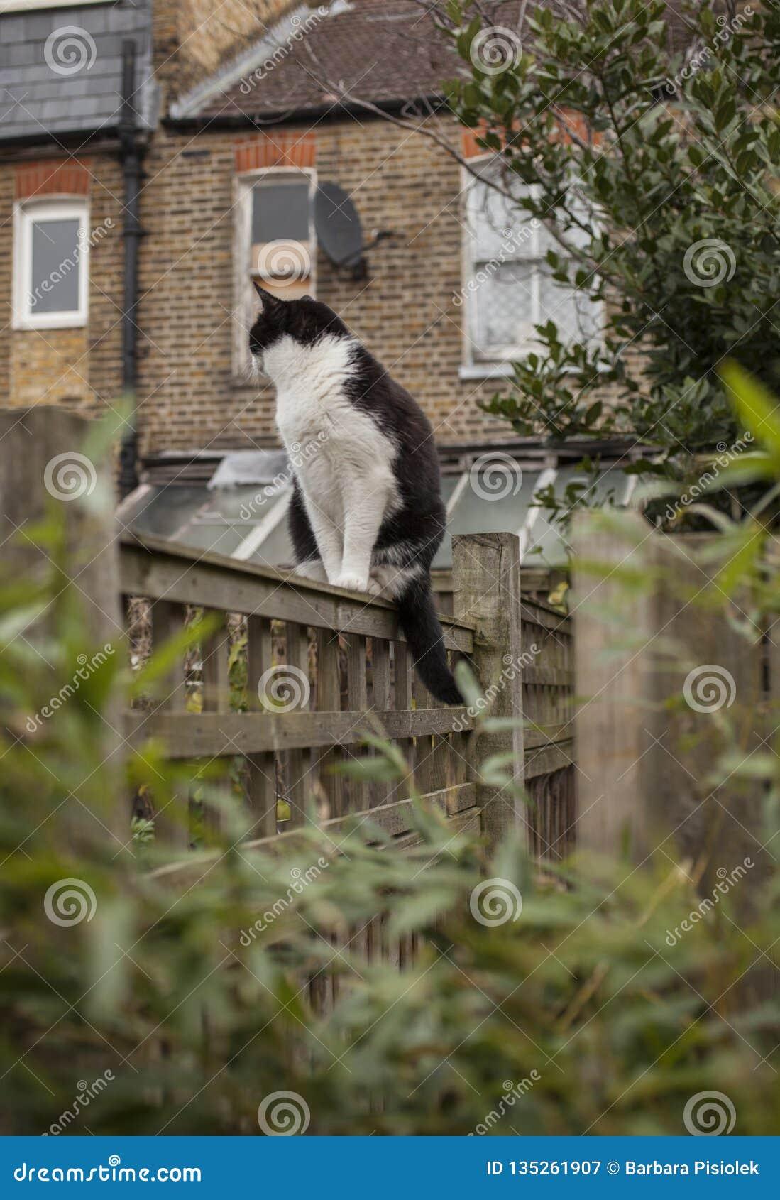 En trädgård i London, England, UK - en vit och svart katt på ett staket; en molnig dag