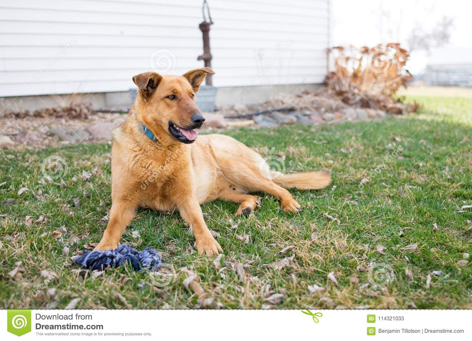En tysk herde Farm Dog