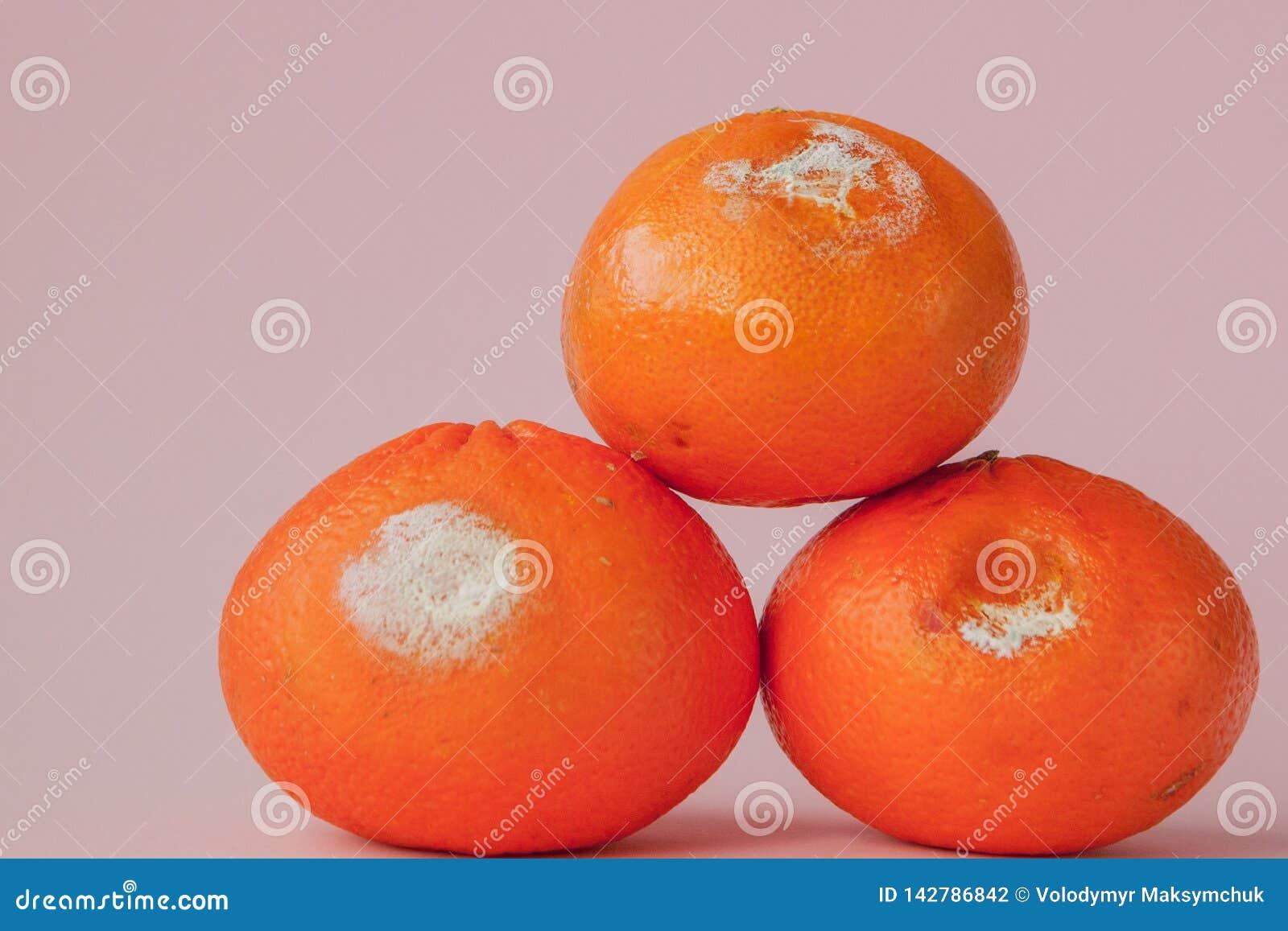 En uppsättning av ruttna mögliga apelsiner, tangerin på rosa bakgrund Ett foto av den växande formen Matförorening, spolierat dål