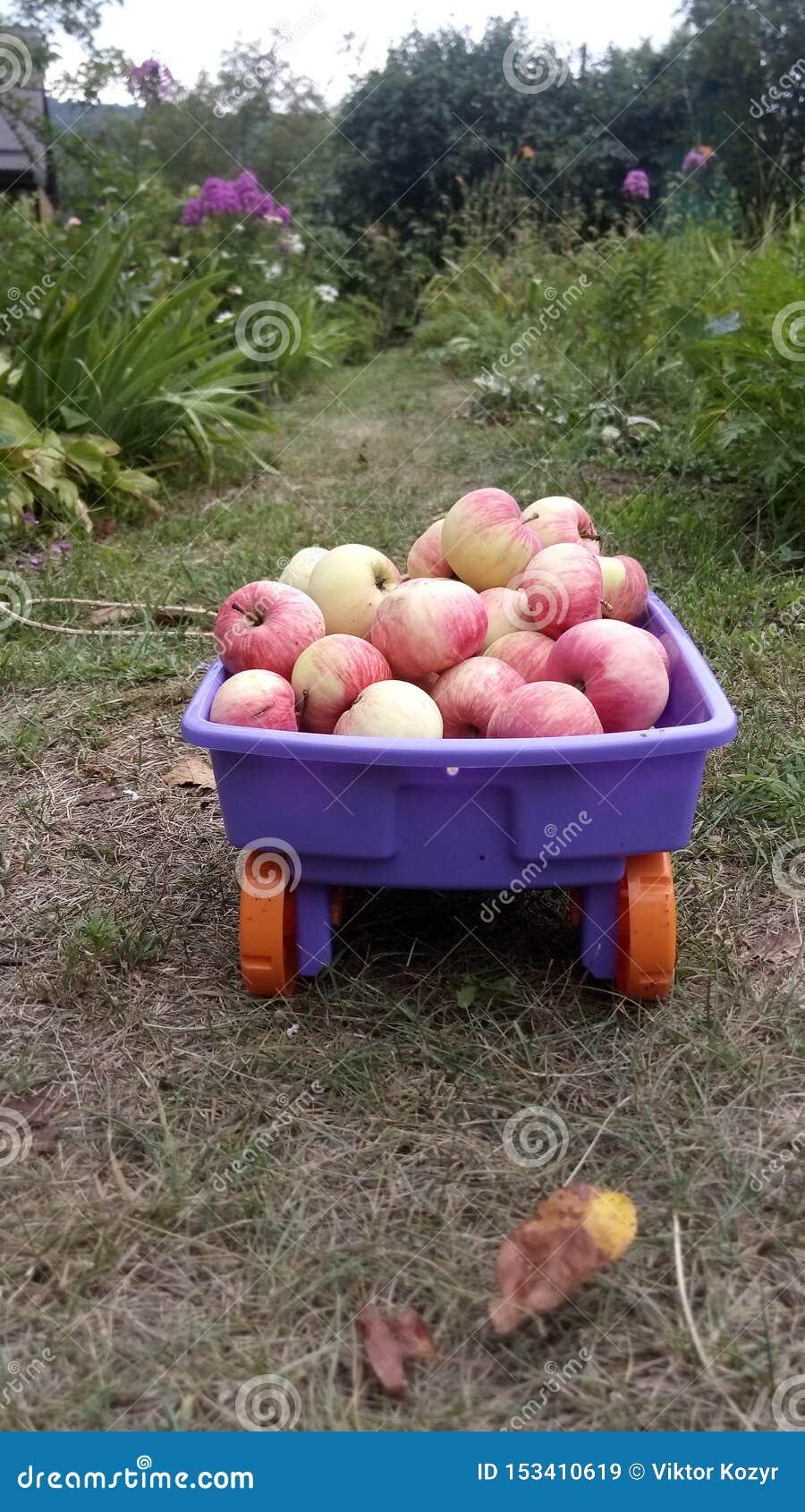En vagn med äpplen på banan av en sommarträdgård som omges av blommor