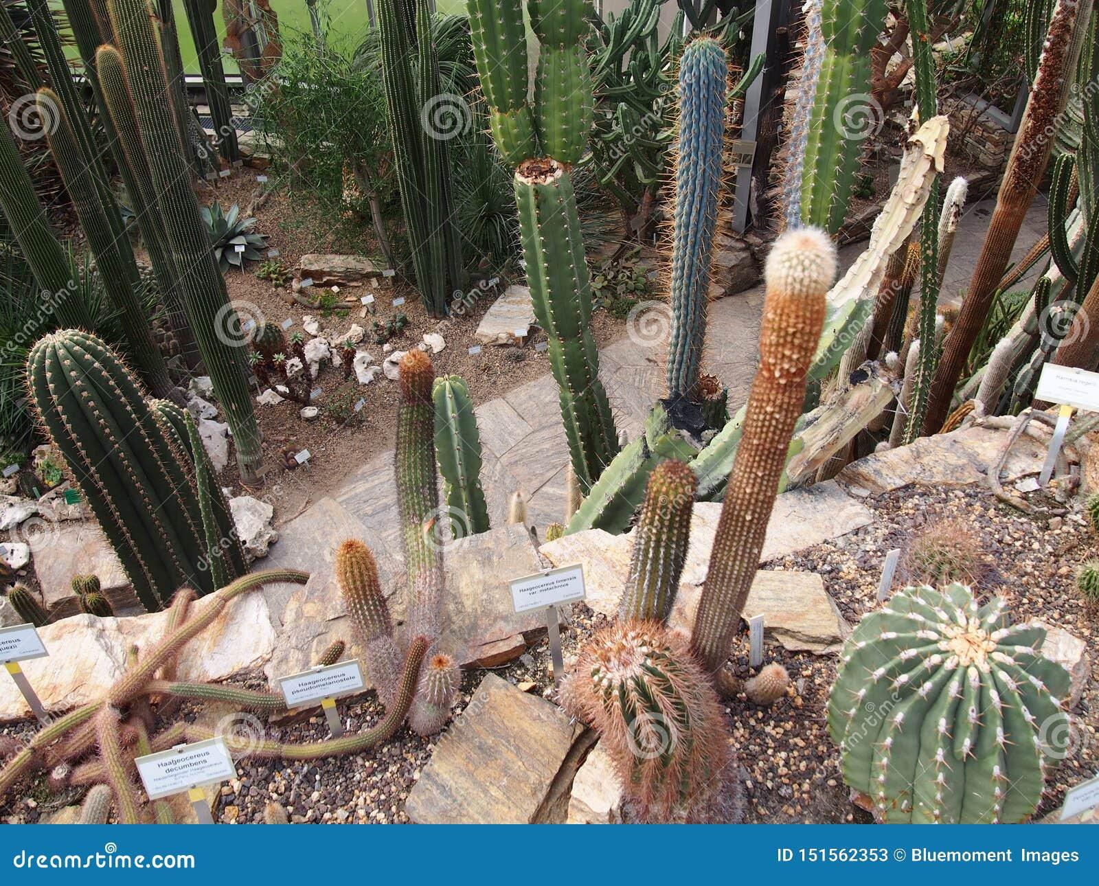 En variation av kaktusFoxtailAgave, indiern-figl, etc., Berlin-dahlem botanisk trädgård