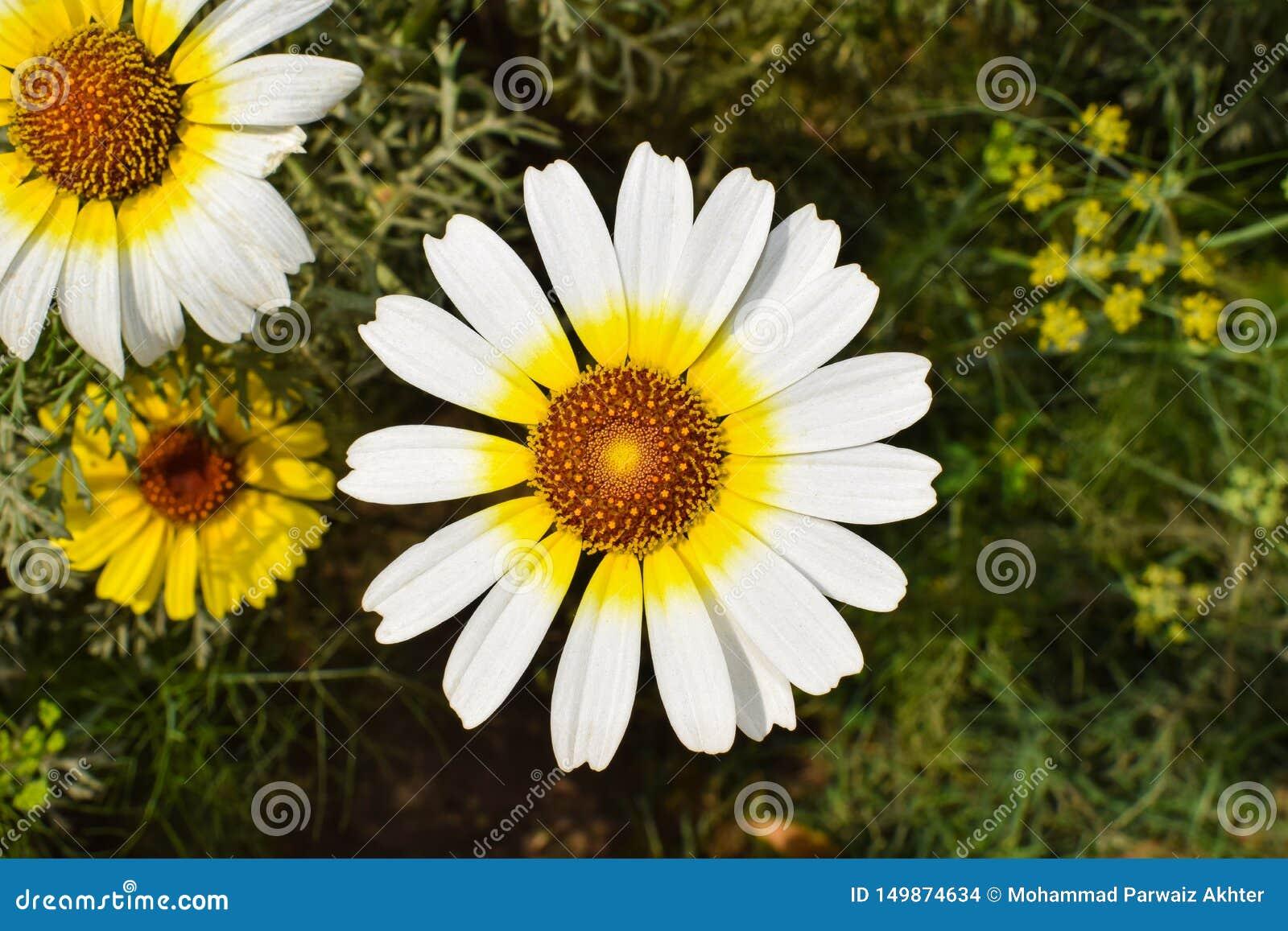 En vit och gul tusensköna agarden in